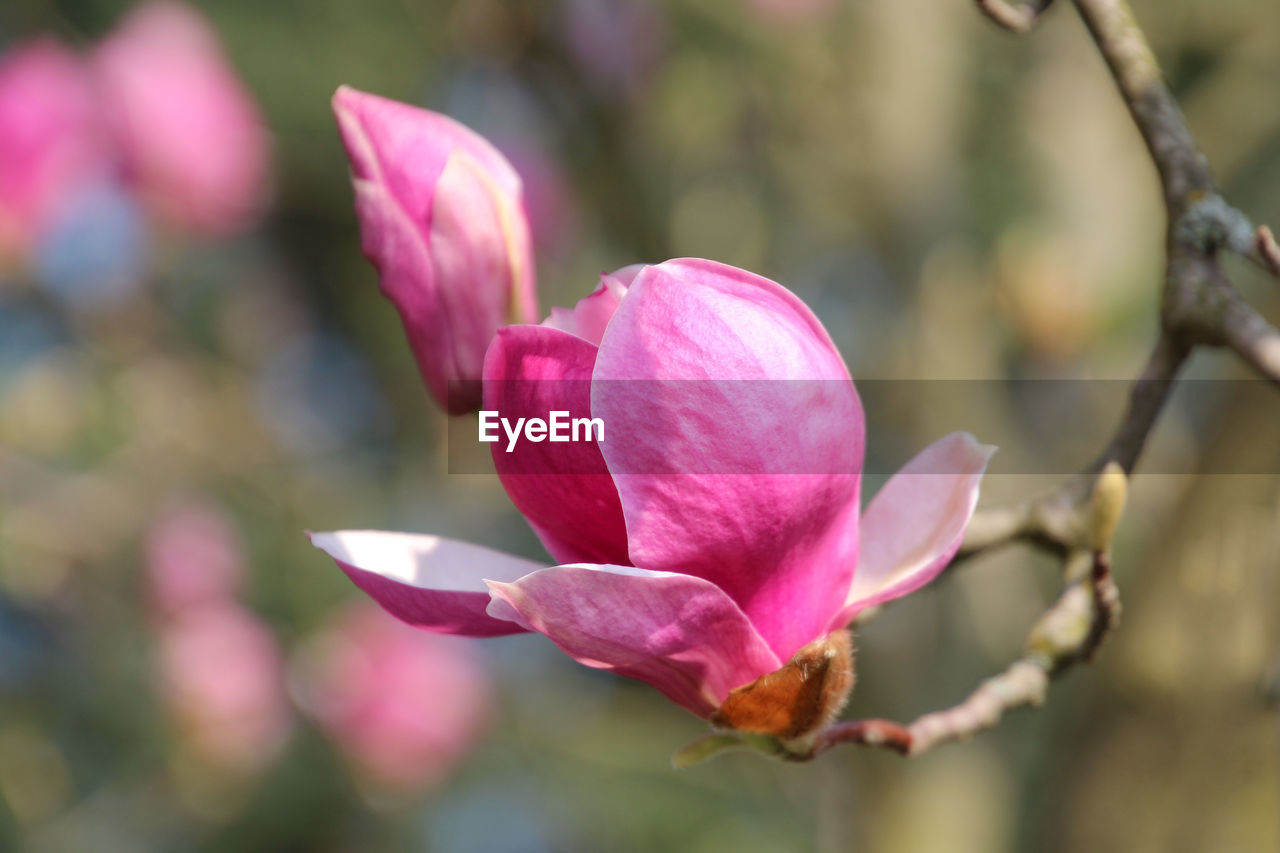 flowering plant, flower, plant, vulnerability, fragility, beauty in nature, petal, pink color, close-up, freshness, growth, flower head, inflorescence, focus on foreground, no people, nature, day, selective focus, botany, bud, outdoors, springtime