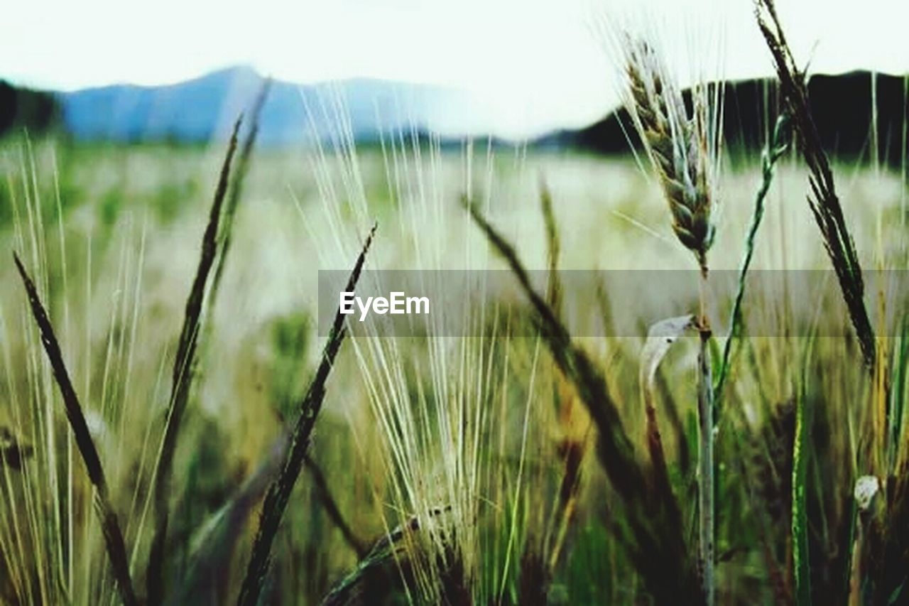 nature, growth, cereal plant, outdoors, grass, crop, green color, rural scene, agriculture, day, field, close-up, tranquil scene, wheat, no people, tranquility, plant, scenics, beauty in nature, landscape, clear sky, freshness, sky