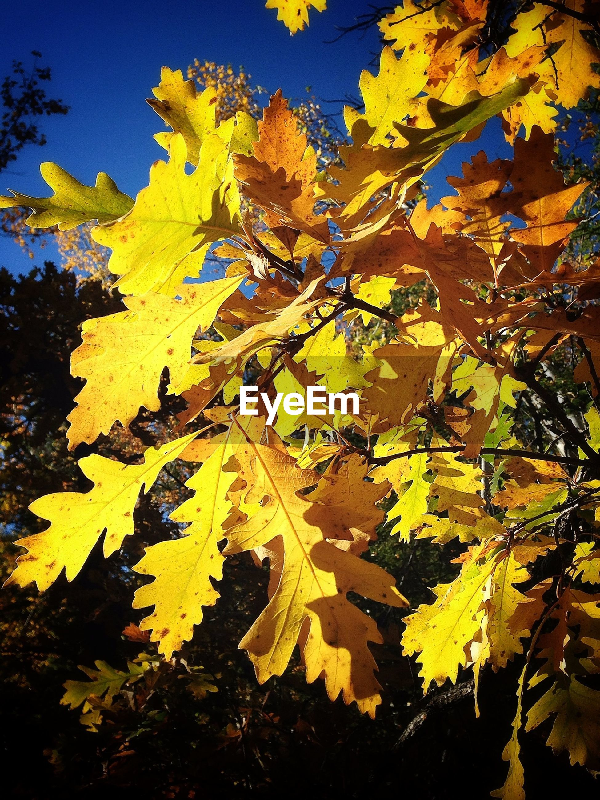 leaf, yellow, autumn, branch, change, tree, low angle view, growth, nature, season, beauty in nature, tranquility, leaves, sunlight, close-up, day, outdoors, no people, clear sky, sky