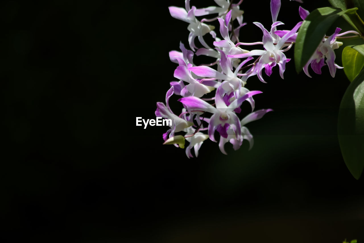 fragility, beauty in nature, nature, no people, flower, petal, freshness, growth, purple, close-up, plant, blooming, flower head, day, black background, outdoors