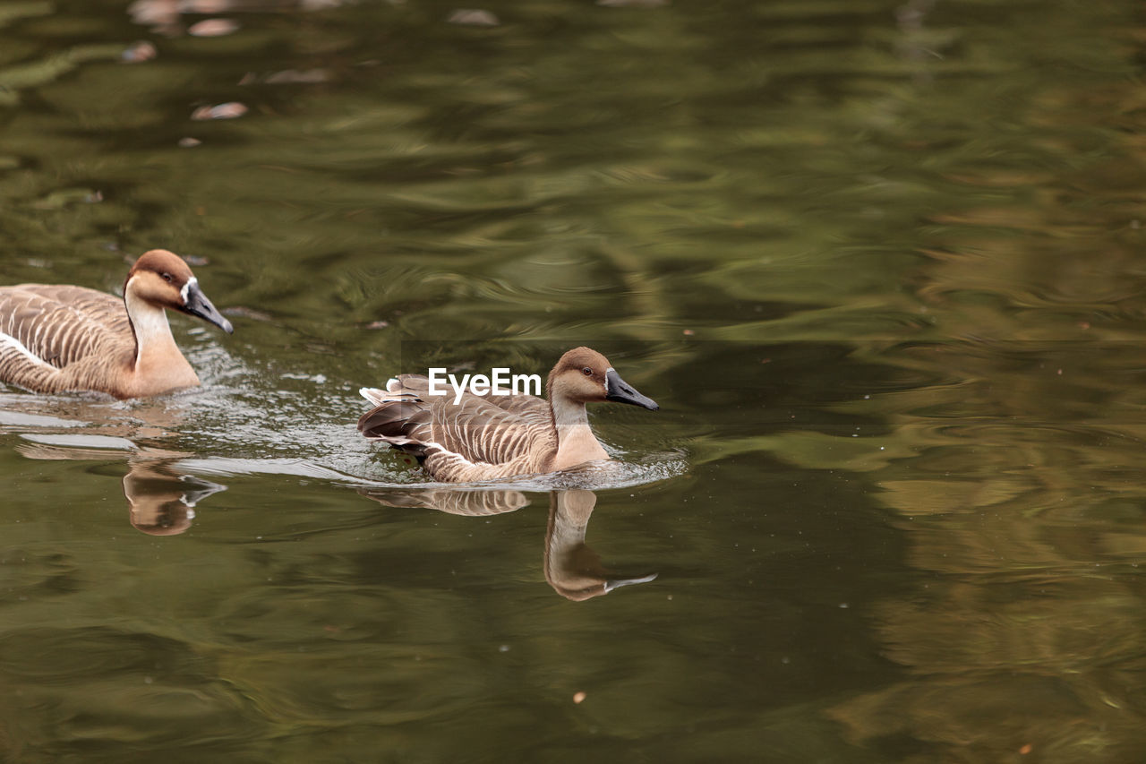water, bird, animal, animal themes, animals in the wild, animal wildlife, vertebrate, lake, waterfront, swimming, group of animals, nature, day, water bird, reflection, no people, greylag goose, two animals, goose, duck, animal family