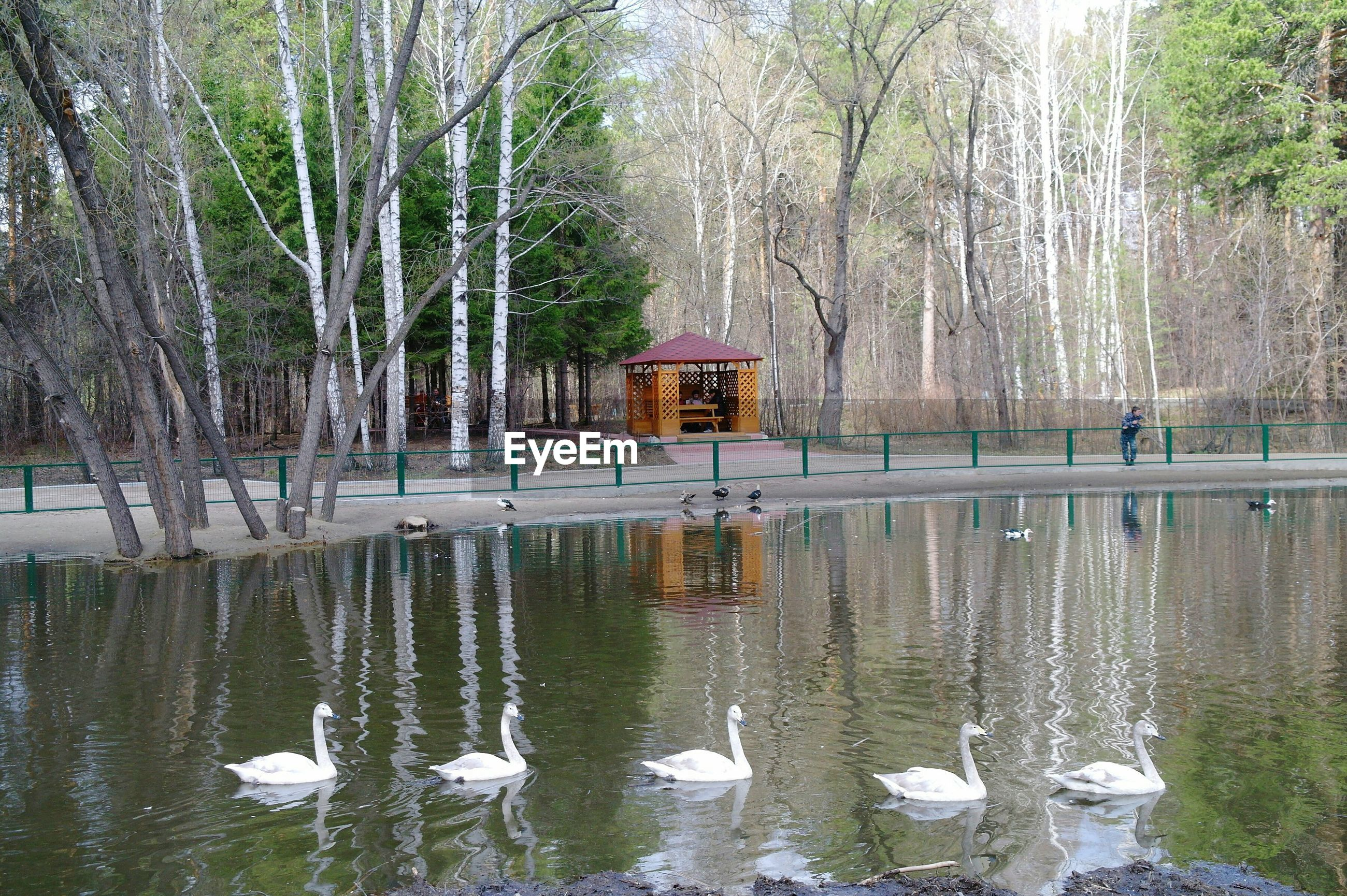 View of swan in lake at forest