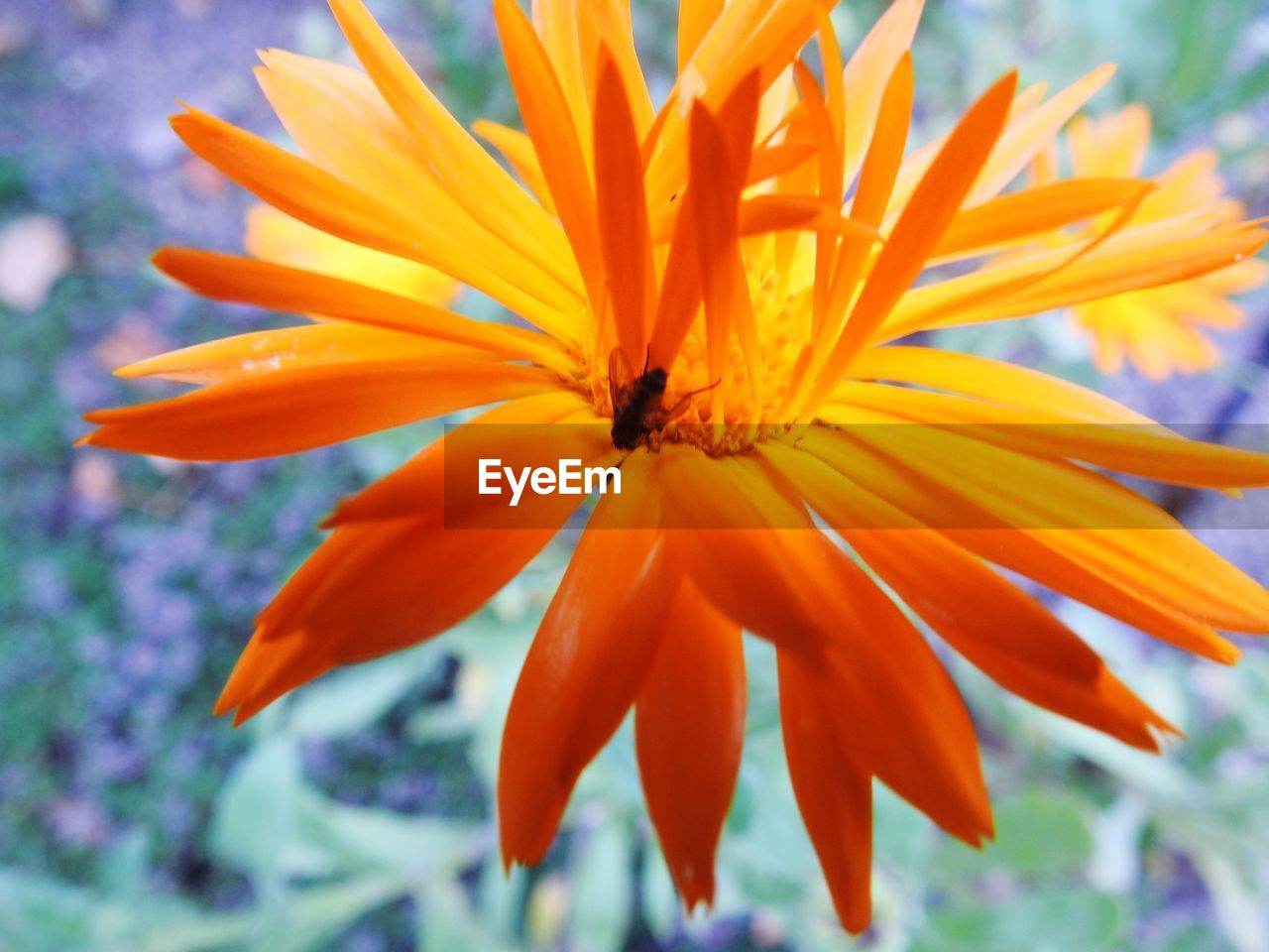 flower, flowering plant, fragility, vulnerability, beauty in nature, petal, flower head, inflorescence, growth, close-up, plant, freshness, orange color, focus on foreground, no people, day, nature, pollen, outdoors