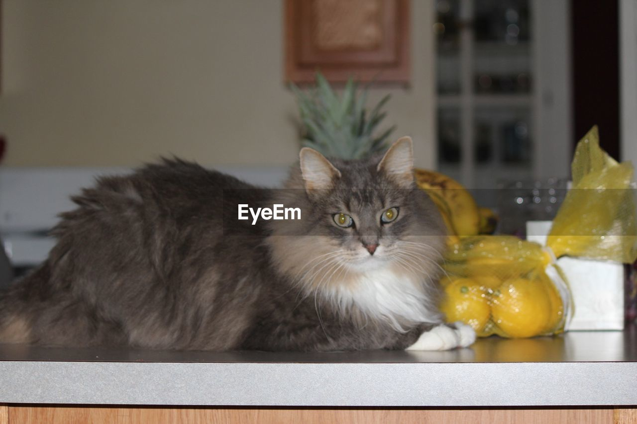 domestic cat, pets, mammal, one animal, animal themes, domestic animals, looking at camera, feline, portrait, indoors, no people, day, close-up