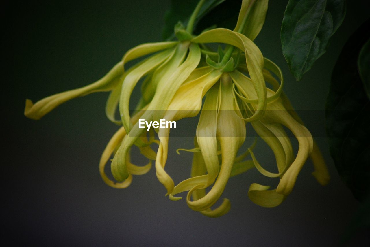 close-up, freshness, plant, yellow, flower, beauty in nature, petal, no people, flowering plant, indoors, studio shot, vulnerability, growth, flower head, black background, fragility, green color, inflorescence, nature, selective focus, sepal