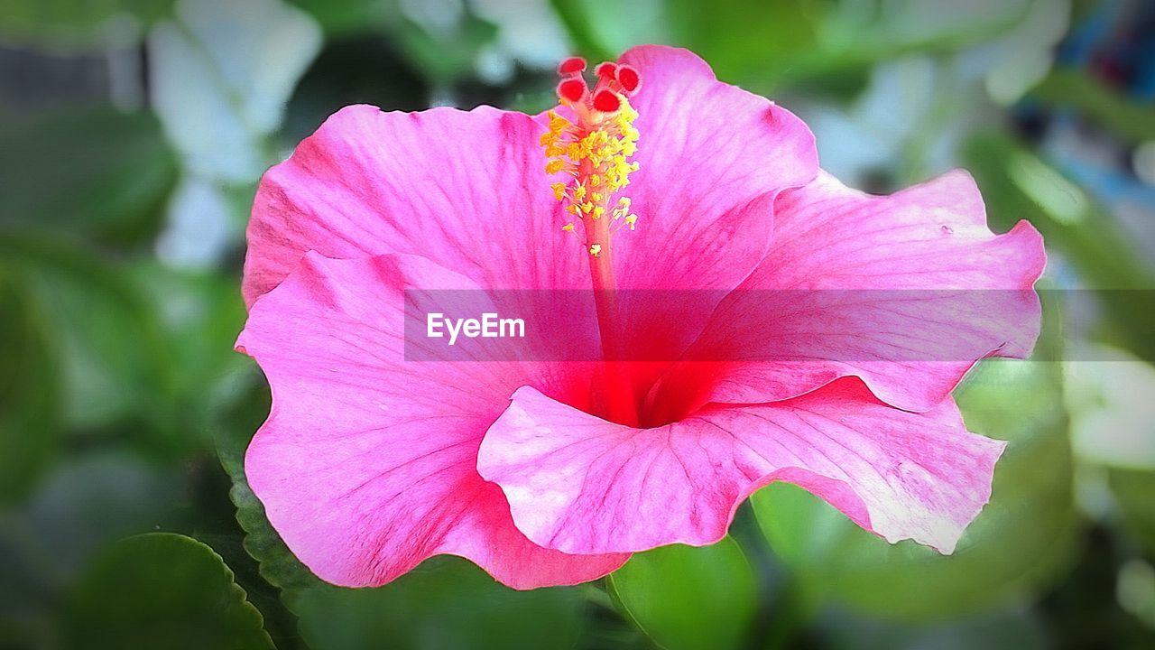 flower, petal, fragility, flower head, beauty in nature, pink color, nature, growth, freshness, blooming, outdoors, pollen, stamen, plant, close-up, hibiscus, day, no people