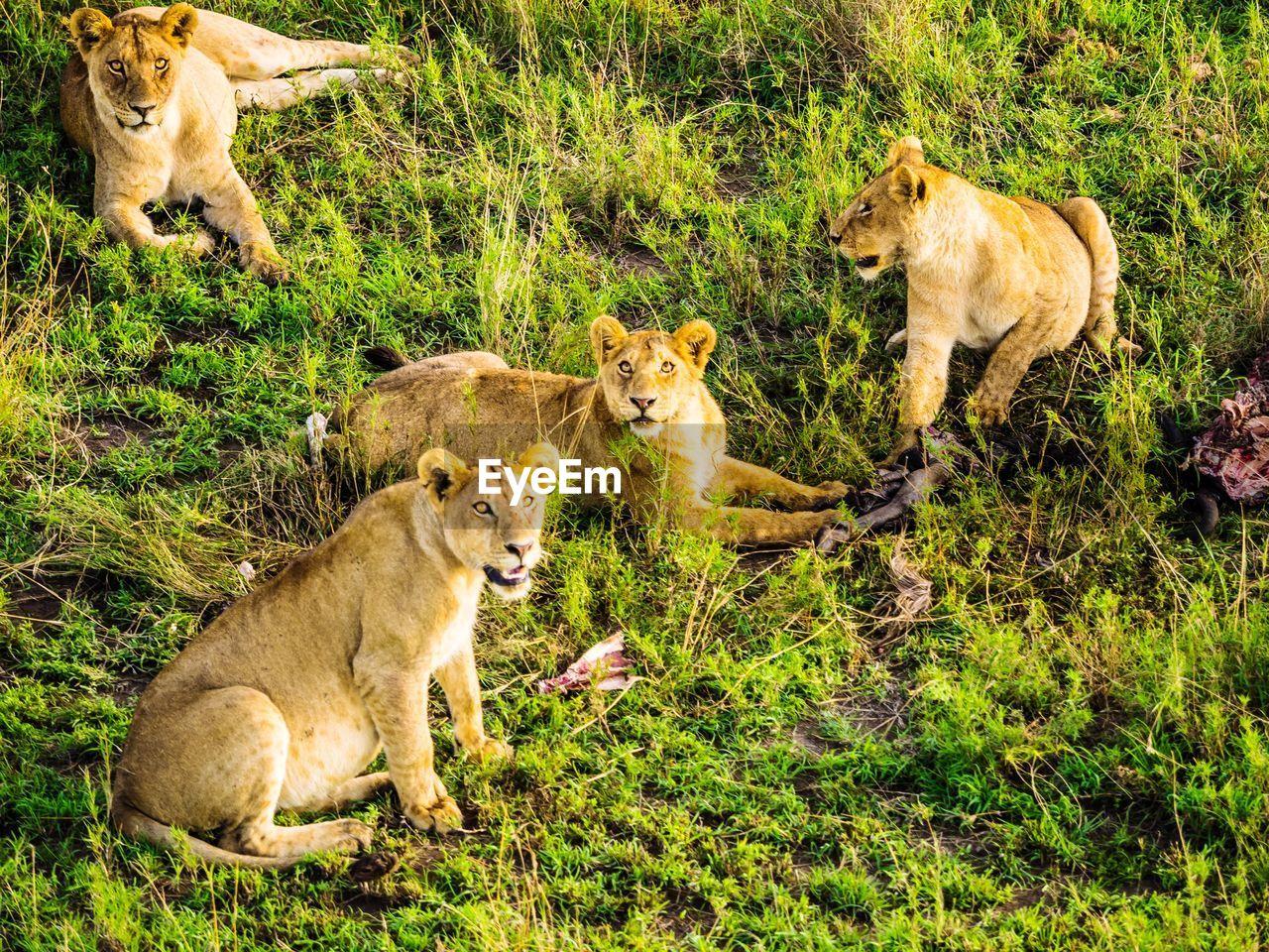 group of animals, mammal, animal, animal themes, lion - feline, animal wildlife, feline, cat, animals in the wild, lioness, lion cub, plant, female animal, grass, young animal, cub, two animals, vertebrate, nature, animal family, no people, outdoors, undomesticated cat