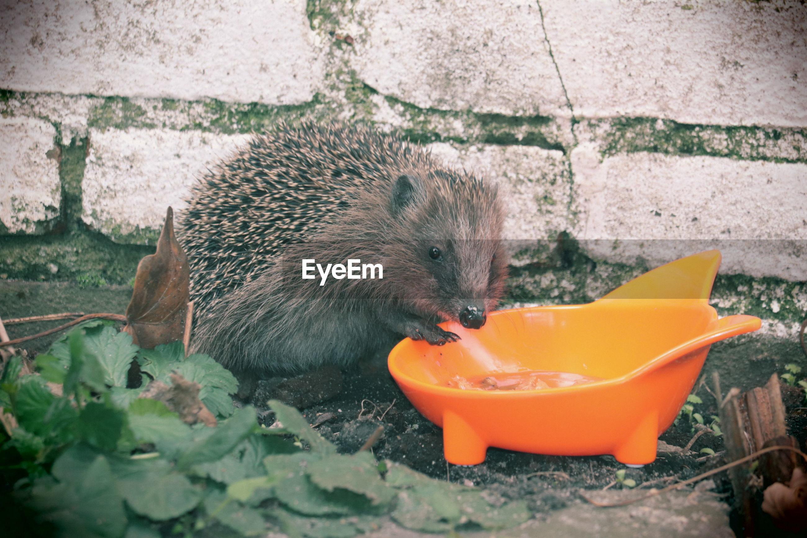 Eating food hedgehog