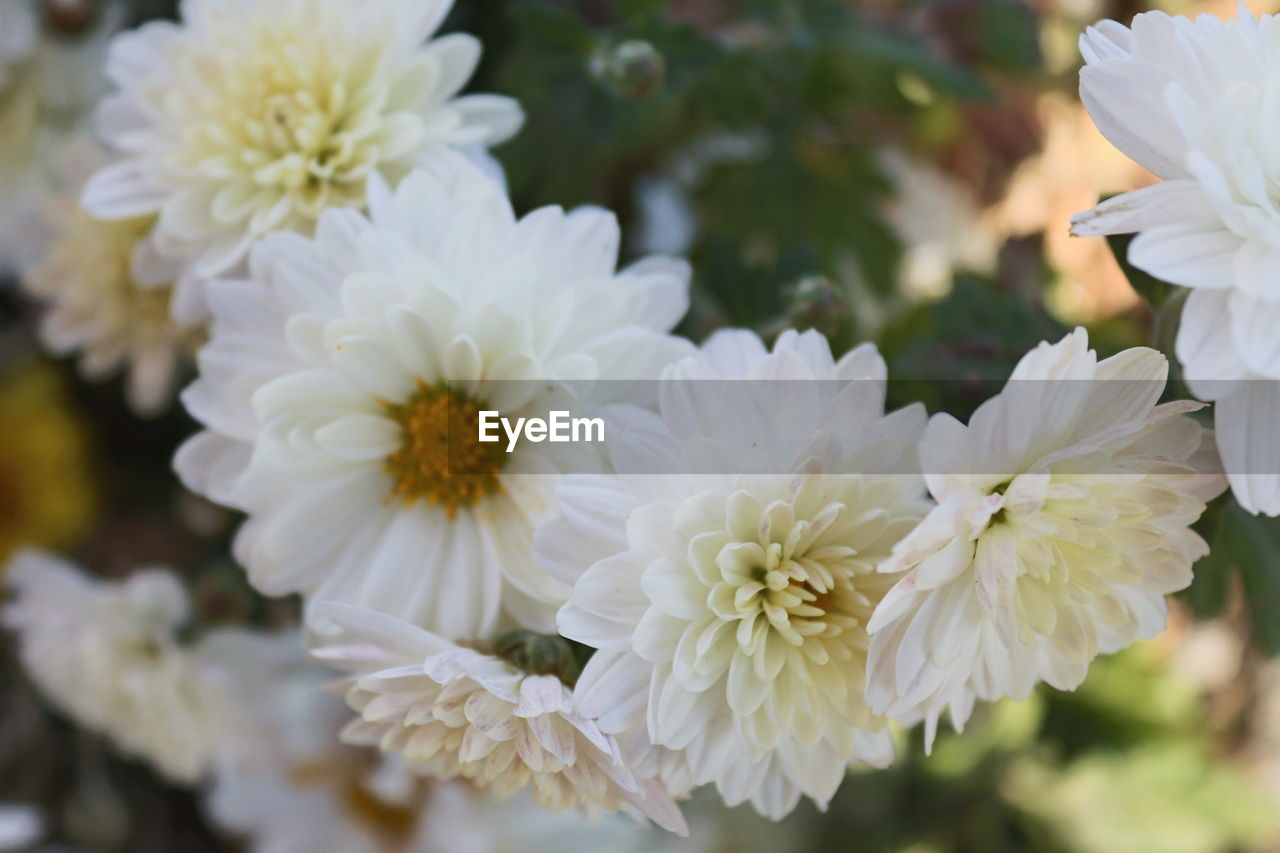 flower, white color, petal, nature, beauty in nature, growth, flower head, freshness, fragility, no people, close-up, outdoors, blooming, day