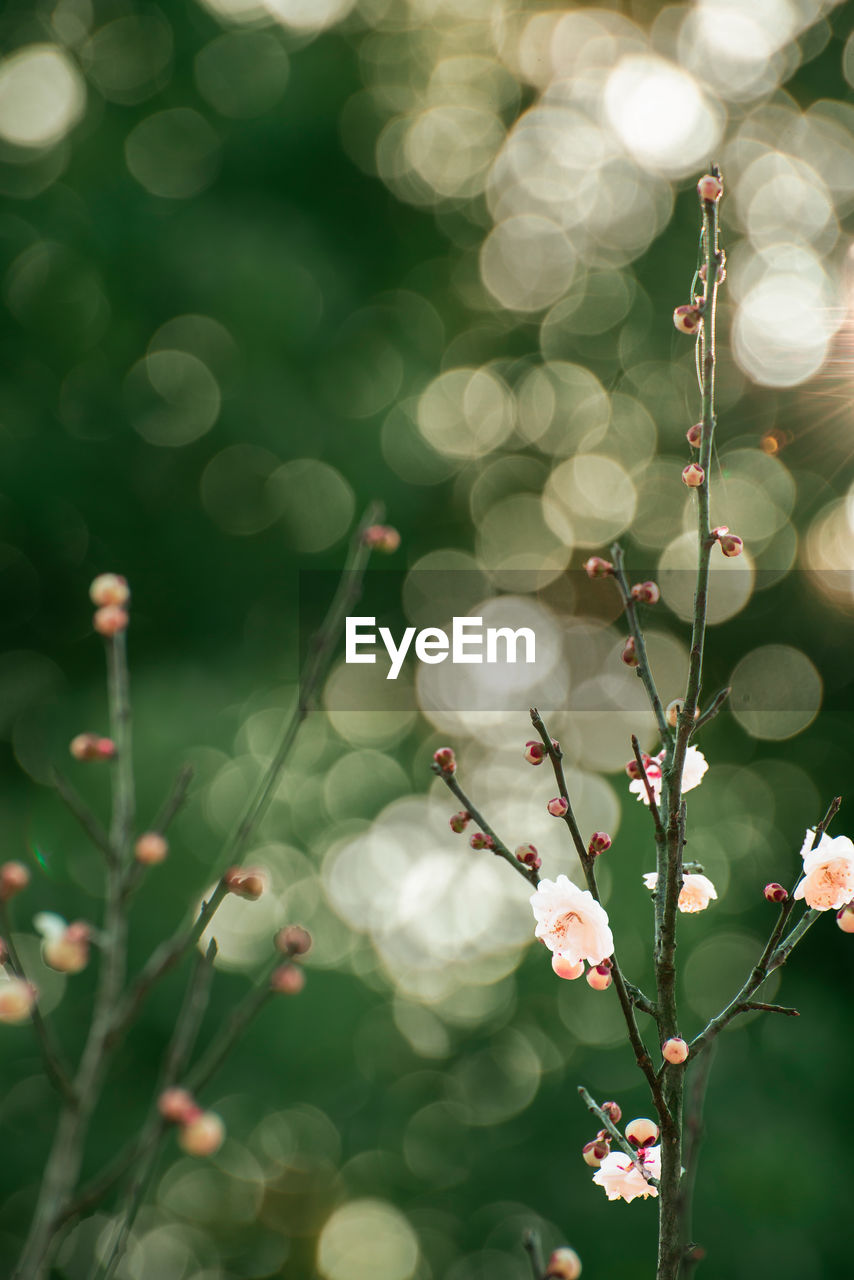 plant, growth, flower, beauty in nature, freshness, selective focus, flowering plant, fragility, close-up, nature, vulnerability, no people, day, focus on foreground, outdoors, tree, petal, green color, lens flare, white color, flower head