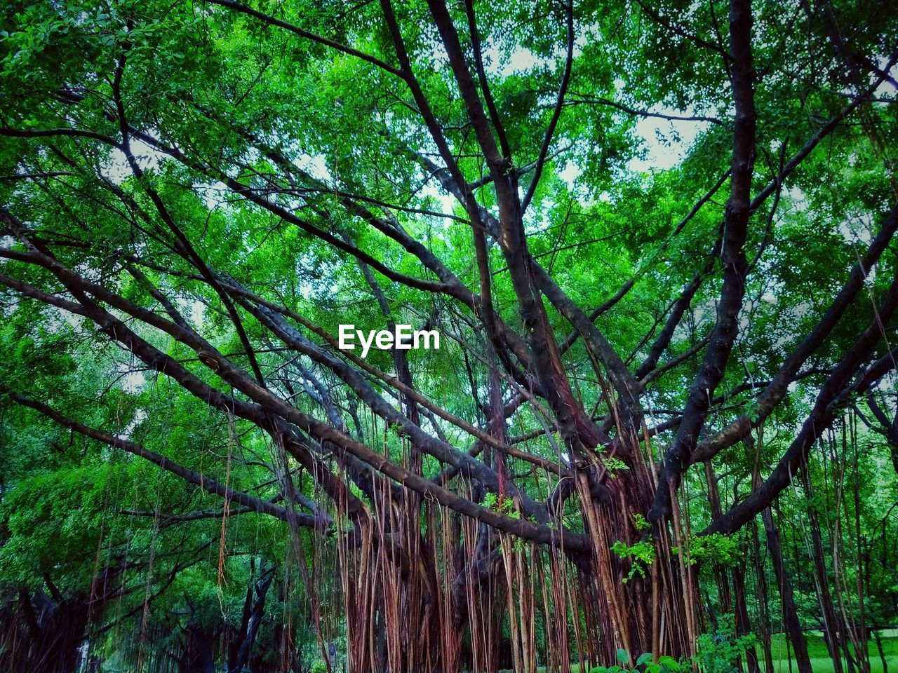 tree, plant, forest, growth, green color, land, tree trunk, trunk, nature, woodland, beauty in nature, tranquility, no people, day, branch, lush foliage, foliage, scenics - nature, outdoors, tranquil scene, bamboo - plant, rainforest, tree canopy