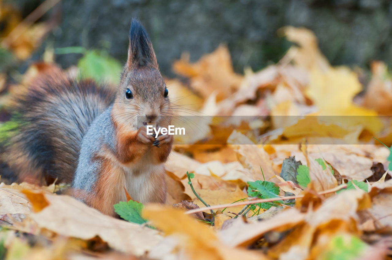 animal themes, one animal, animal, rodent, selective focus, mammal, leaf, animal wildlife, plant part, autumn, animals in the wild, no people, vertebrate, nature, close-up, land, squirrel, day, field, leaves, change, whisker