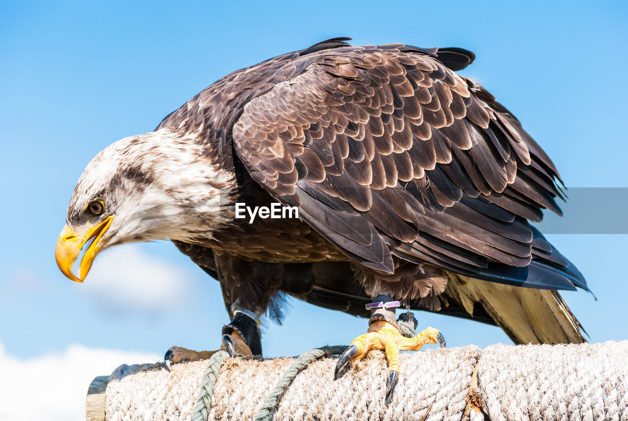 bird, vertebrate, animal, animals in the wild, animal themes, one animal, animal wildlife, bird of prey, focus on foreground, day, nature, no people, sky, clear sky, close-up, beak, sunlight, looking, perching, outdoors, eagle