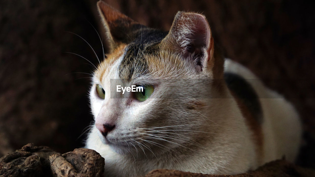 animal themes, one animal, animal, mammal, pets, domestic animals, domestic, vertebrate, cat, domestic cat, feline, close-up, focus on foreground, whisker, animal body part, no people, looking away, looking, animal head, relaxation, animal eye