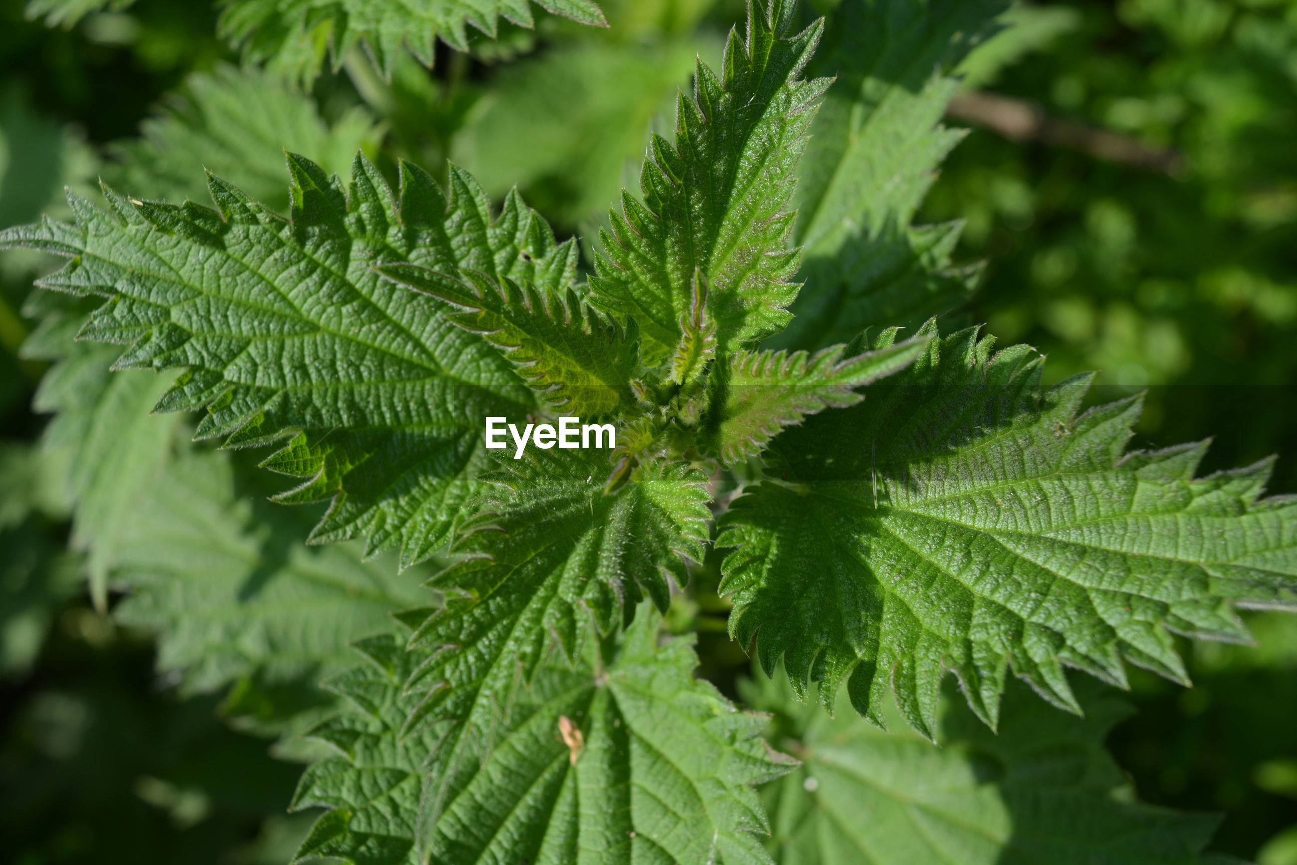 Vibrant green leaves of common nettle, also known as urtica dioica