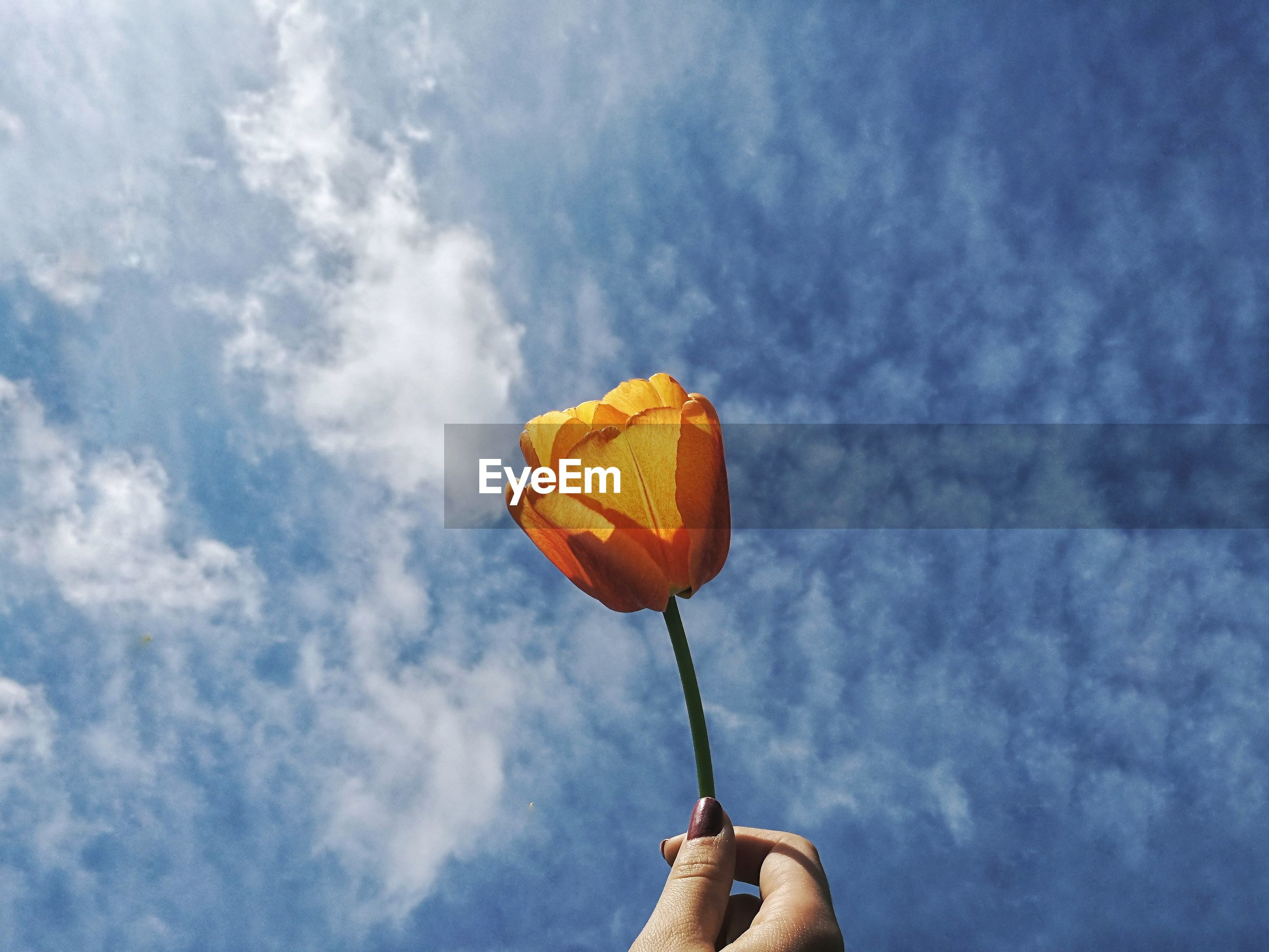 Close-up of hand holding tulip against sky