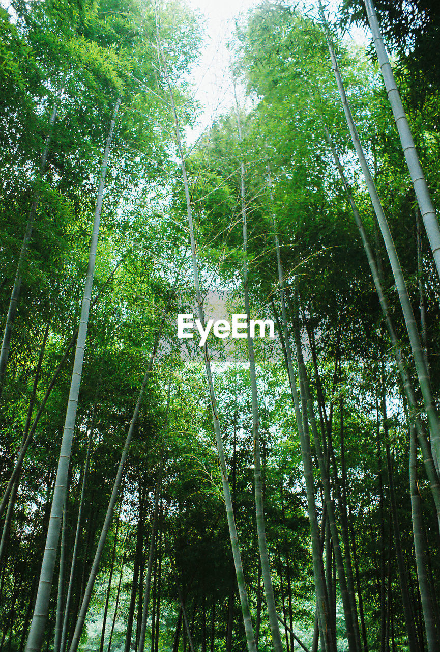 tree, forest, bamboo grove, nature, green color, low angle view, bamboo - plant, growth, outdoors, beauty in nature, tranquil scene, tranquility, no people, lush foliage, day, tree trunk, woodland, scenics, leaf, branch, sky