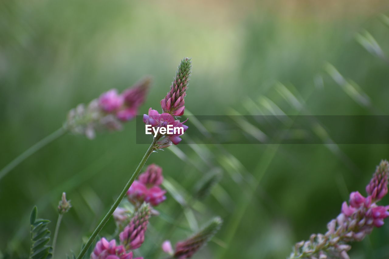 flowering plant, flower, plant, beauty in nature, growth, vulnerability, fragility, close-up, freshness, pink color, nature, day, focus on foreground, flower head, no people, petal, inflorescence, selective focus, green color, outdoors, purple, pollination
