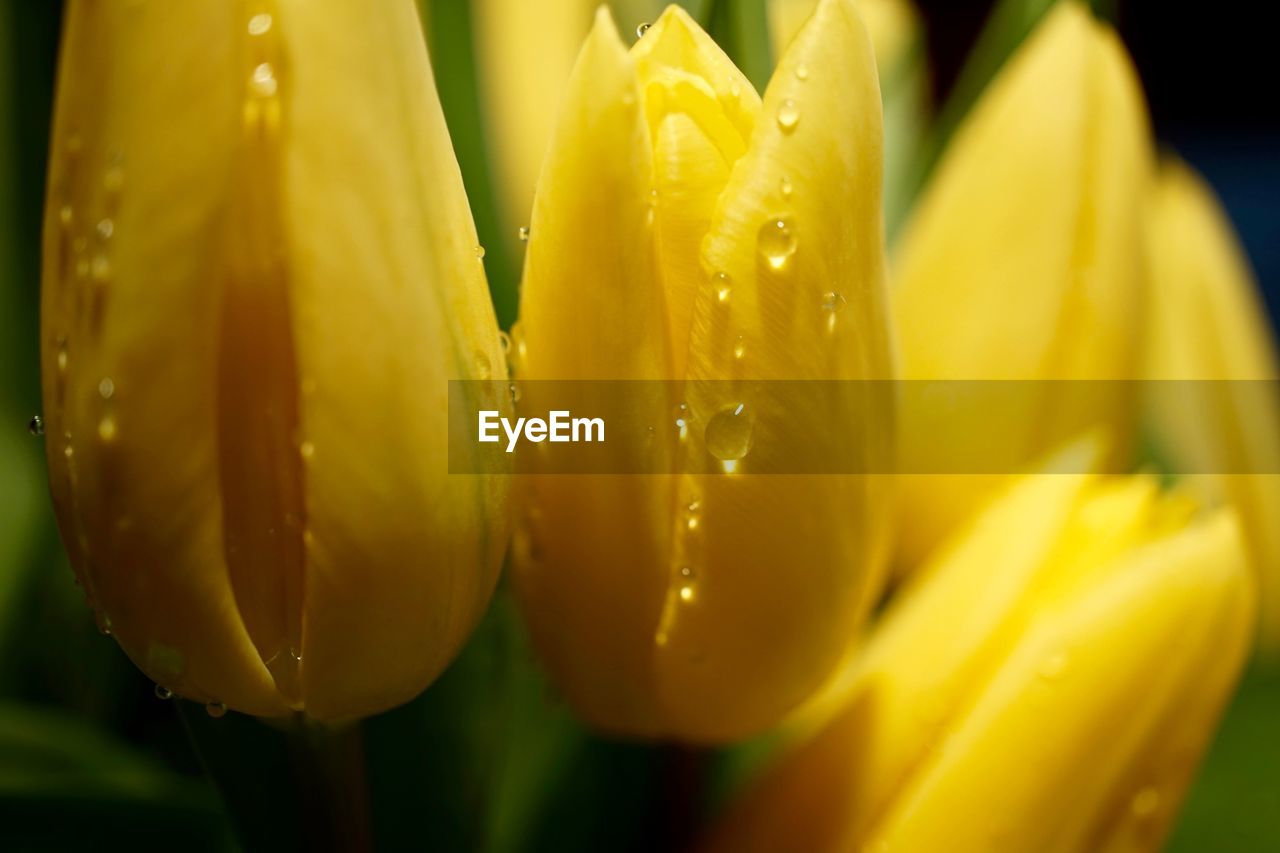 flower, freshness, nature, beauty in nature, growth, drop, petal, close-up, fragility, yellow, wet, flower head, plant, water, no people, outdoors, day, blooming