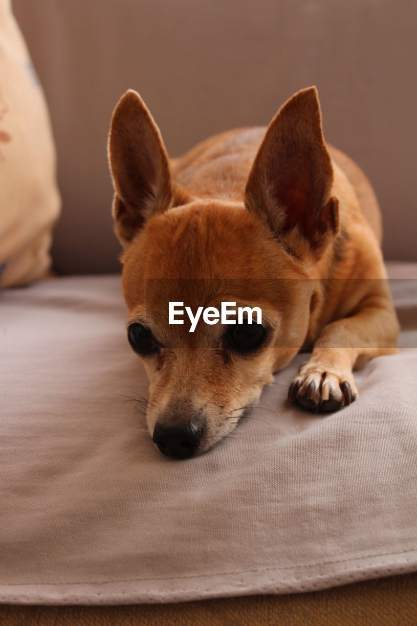 mammal, pets, domestic, domestic animals, one animal, dog, canine, animal themes, animal, relaxation, indoors, vertebrate, close-up, furniture, no people, brown, portrait, bed, resting, looking at camera, animal head, chihuahua - dog