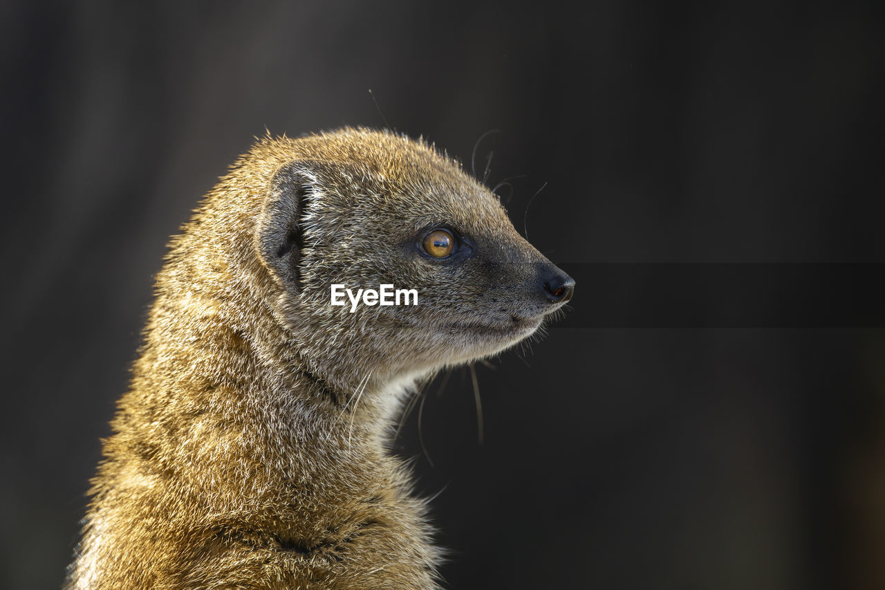 animal themes, animal, one animal, mammal, animal wildlife, animals in the wild, vertebrate, looking, close-up, focus on foreground, looking away, no people, animal body part, side view, carnivora, meerkat, nature, zoology, outdoors, animal head, whisker, black background, profile view