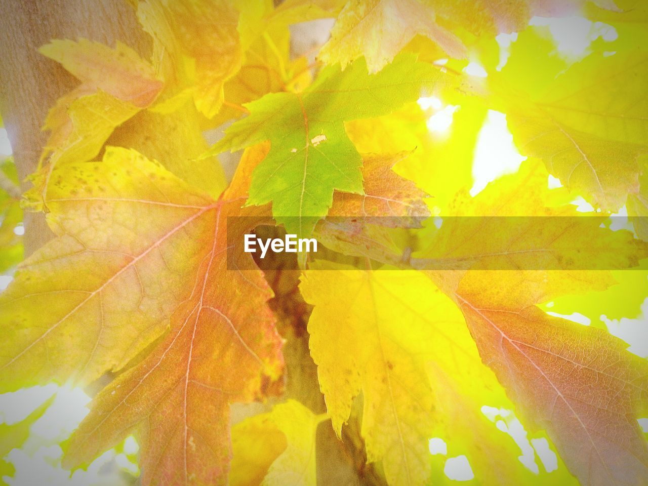leaf, autumn, change, nature, beauty in nature, close-up, outdoors, no people, day, yellow, growth, fragility, green color, maple leaf, maple, freshness, animal themes