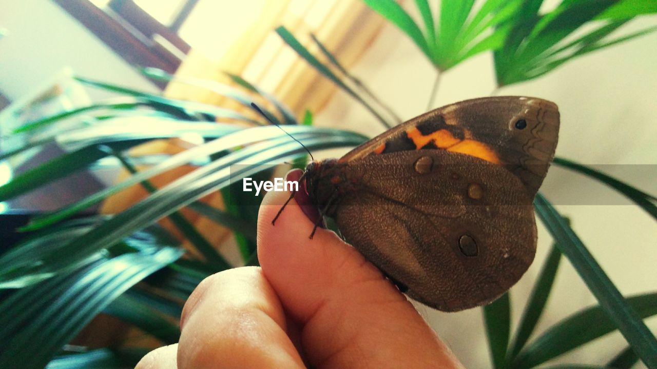 one animal, one person, human hand, real people, hand, animals in the wild, human body part, animal wildlife, insect, invertebrate, butterfly - insect, animal wing, close-up, focus on foreground, lifestyles, holding, plant, body part, finger, butterfly