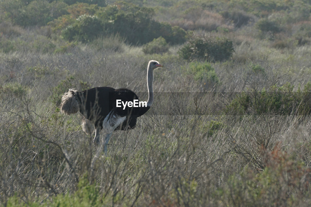 View of ostrich on field