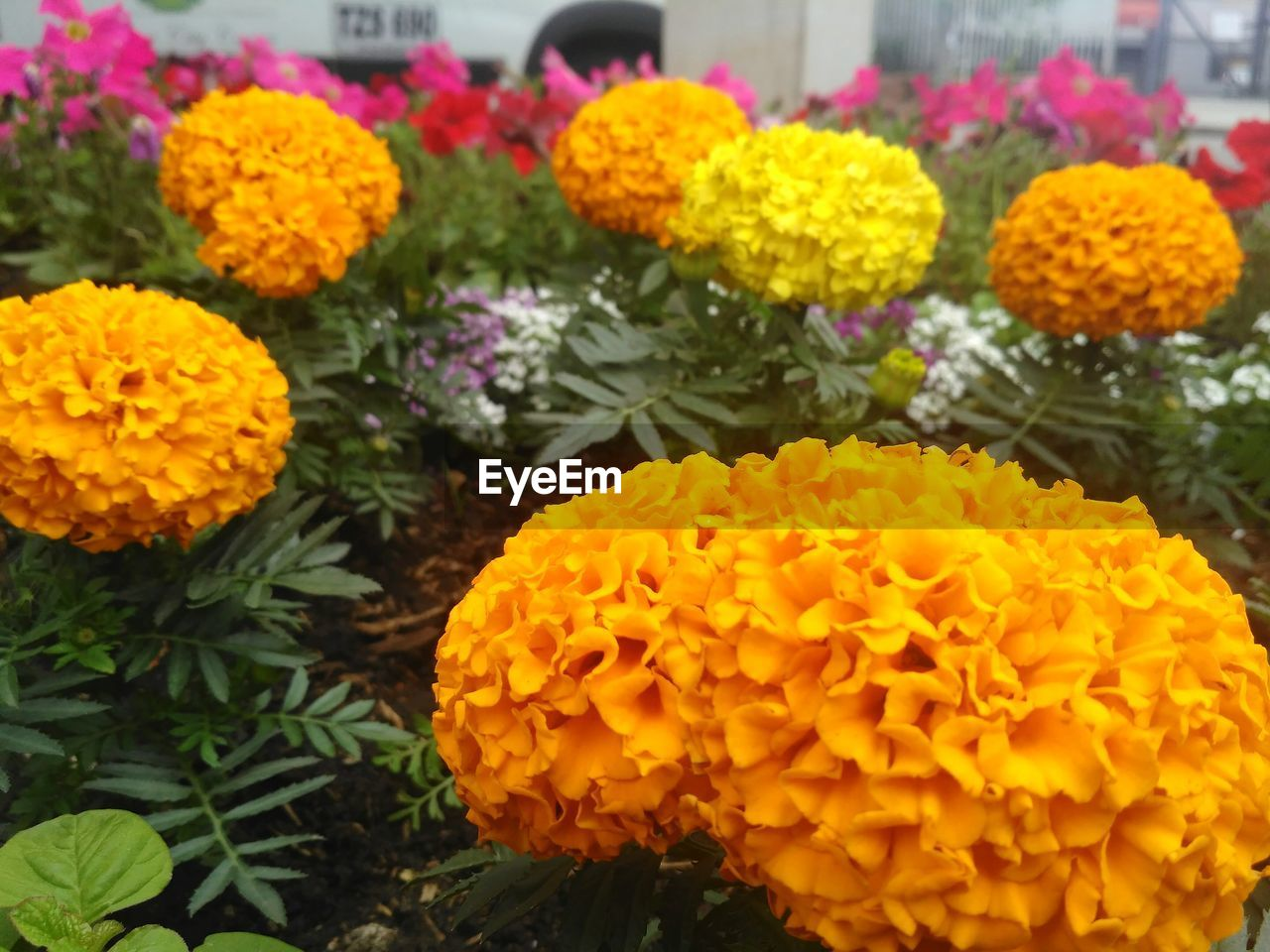 flower, freshness, fragility, yellow, beauty in nature, petal, growth, marigold, flower head, nature, blooming, plant, no people, outdoors, close-up, day, flower market
