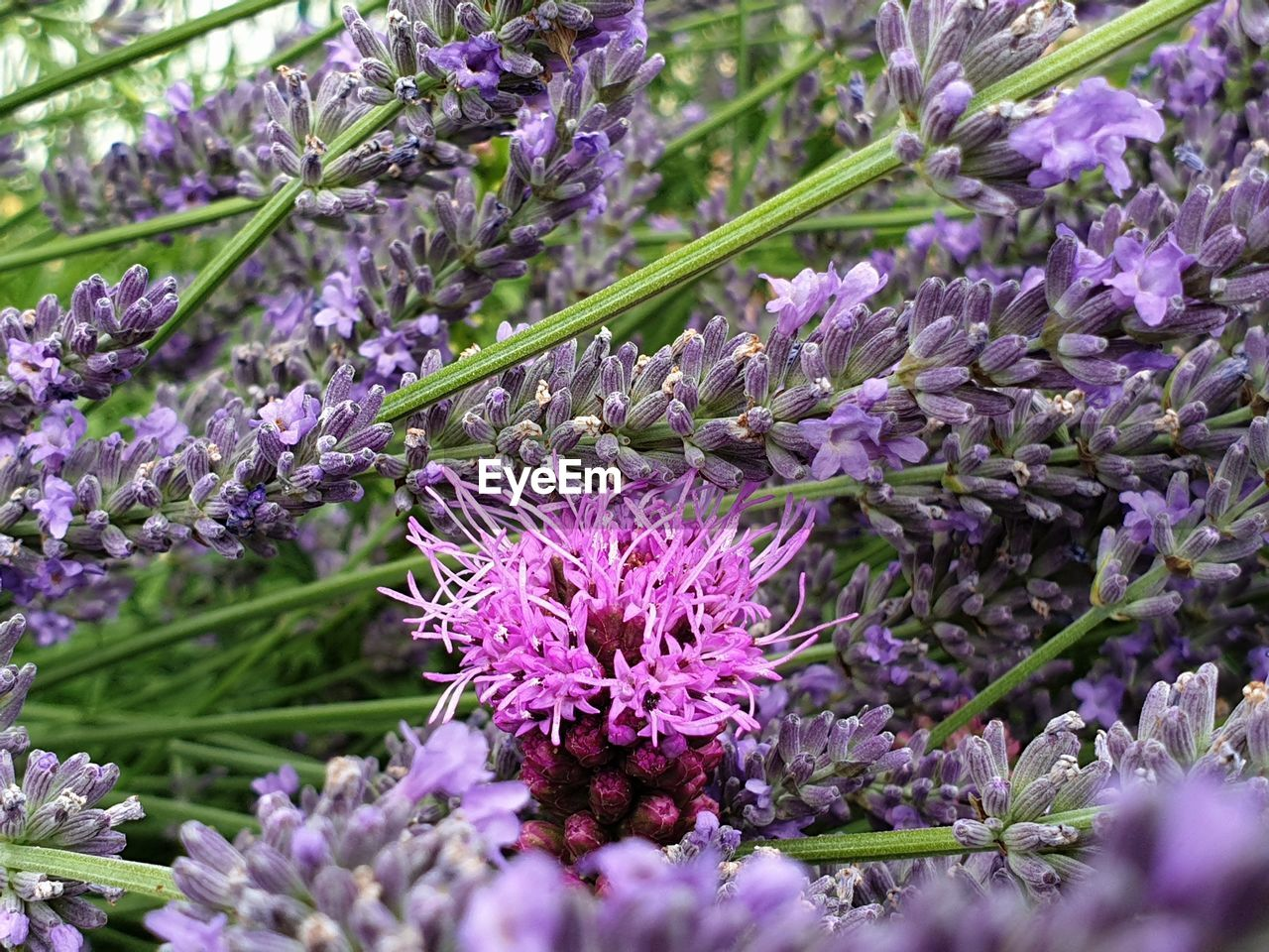 flower, flowering plant, plant, vulnerability, freshness, fragility, beauty in nature, growth, purple, close-up, selective focus, nature, petal, springtime, day, botany, no people, flower head, blossom, lavender, outdoors, bunch of flowers, lilac, flowerbed