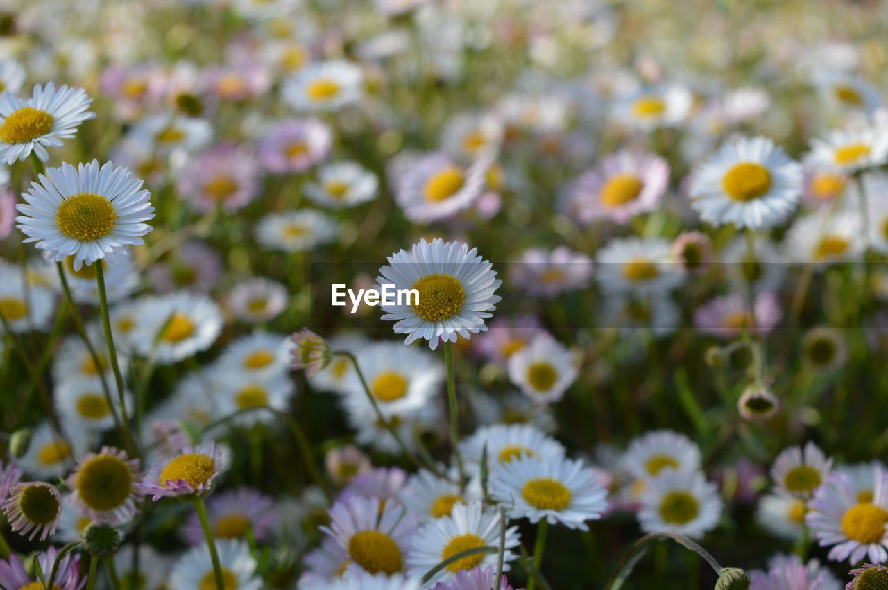 flower, flowering plant, freshness, growth, fragility, vulnerability, plant, beauty in nature, flower head, inflorescence, close-up, petal, focus on foreground, daisy, white color, day, no people, nature, selective focus, land, pollen