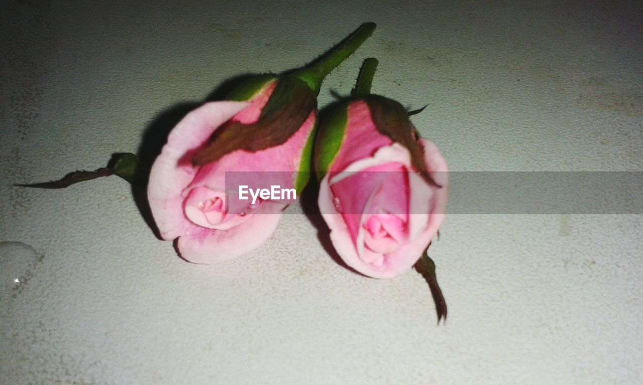 flower, no people, nature, pink color, close-up, indoors, fragility, day, beauty in nature, freshness, flower head