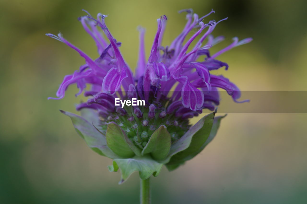flowering plant, flower, fragility, vulnerability, freshness, beauty in nature, plant, purple, close-up, petal, growth, flower head, inflorescence, nature, focus on foreground, no people, day, plant stem, outdoors, botany, sepal