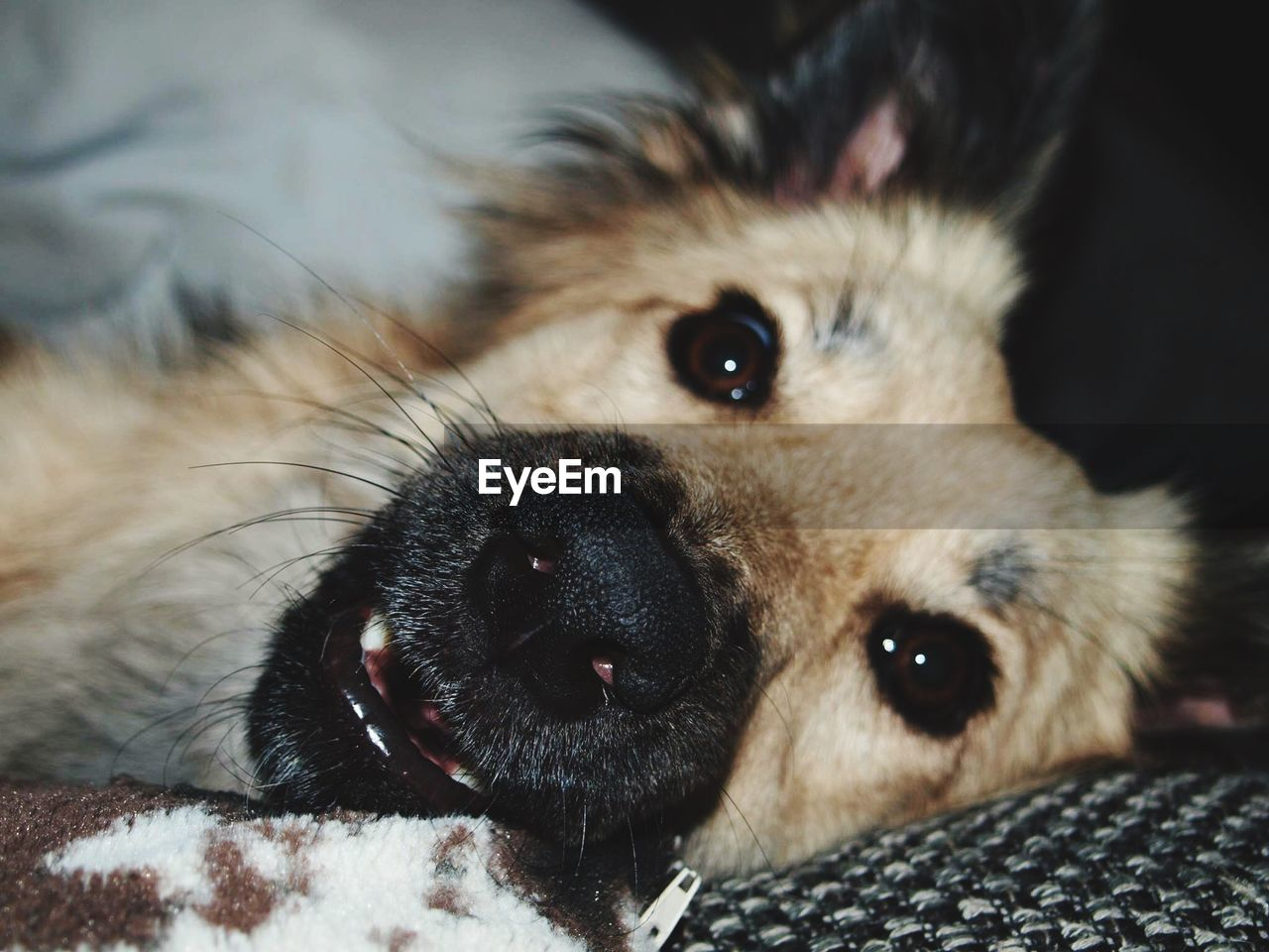 one animal, mammal, animal themes, animal, domestic, pets, dog, canine, domestic animals, vertebrate, close-up, relaxation, looking at camera, portrait, no people, animal body part, indoors, focus on foreground, lying down, animal head, whisker, animal eye, snout, animal mouth