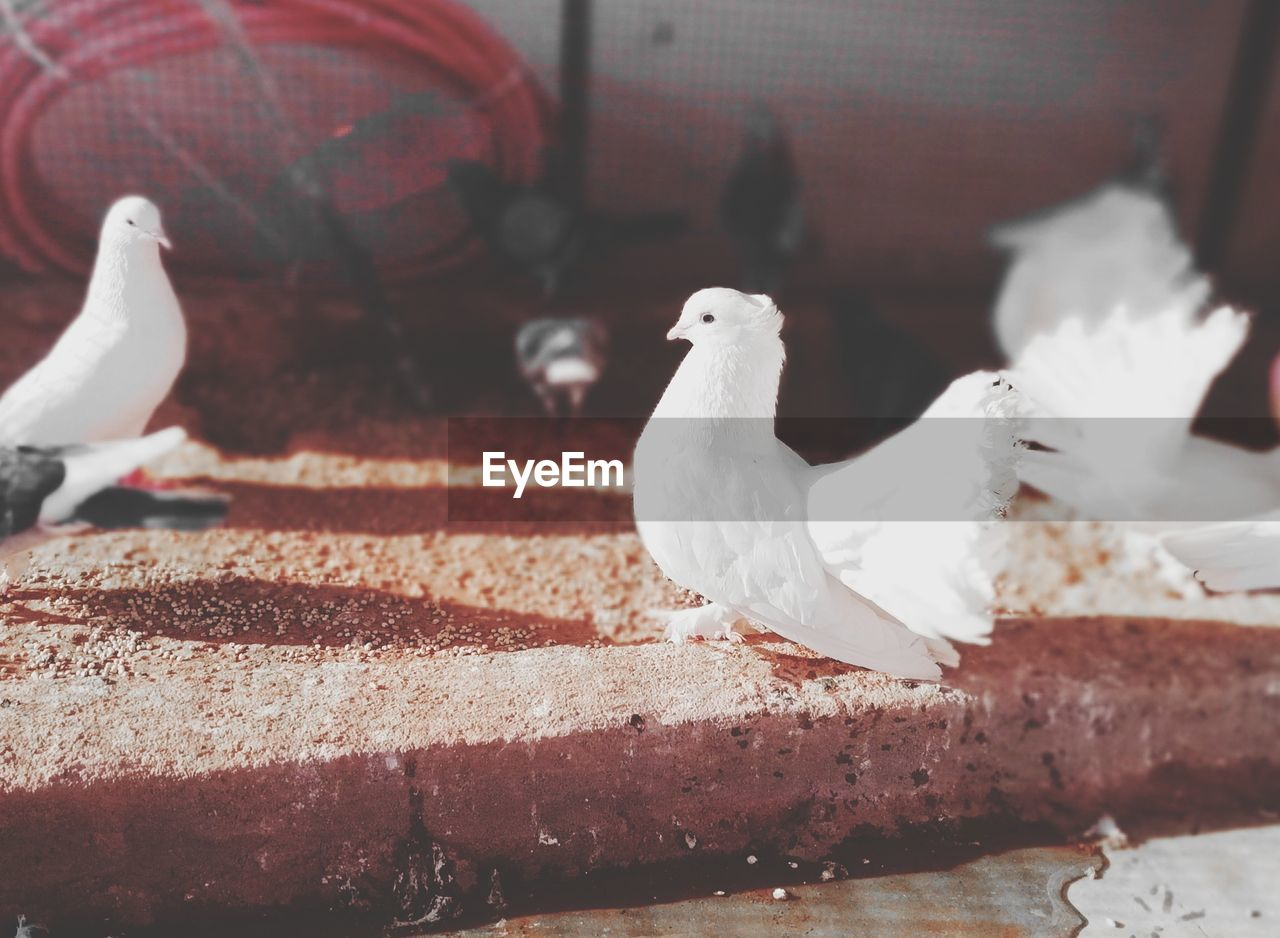 bird, animal themes, vertebrate, animal, animal wildlife, animals in the wild, group of animals, no people, perching, dove - bird, white color, close-up, two animals, focus on foreground, day, pigeon, seagull, outdoors, nature, metal
