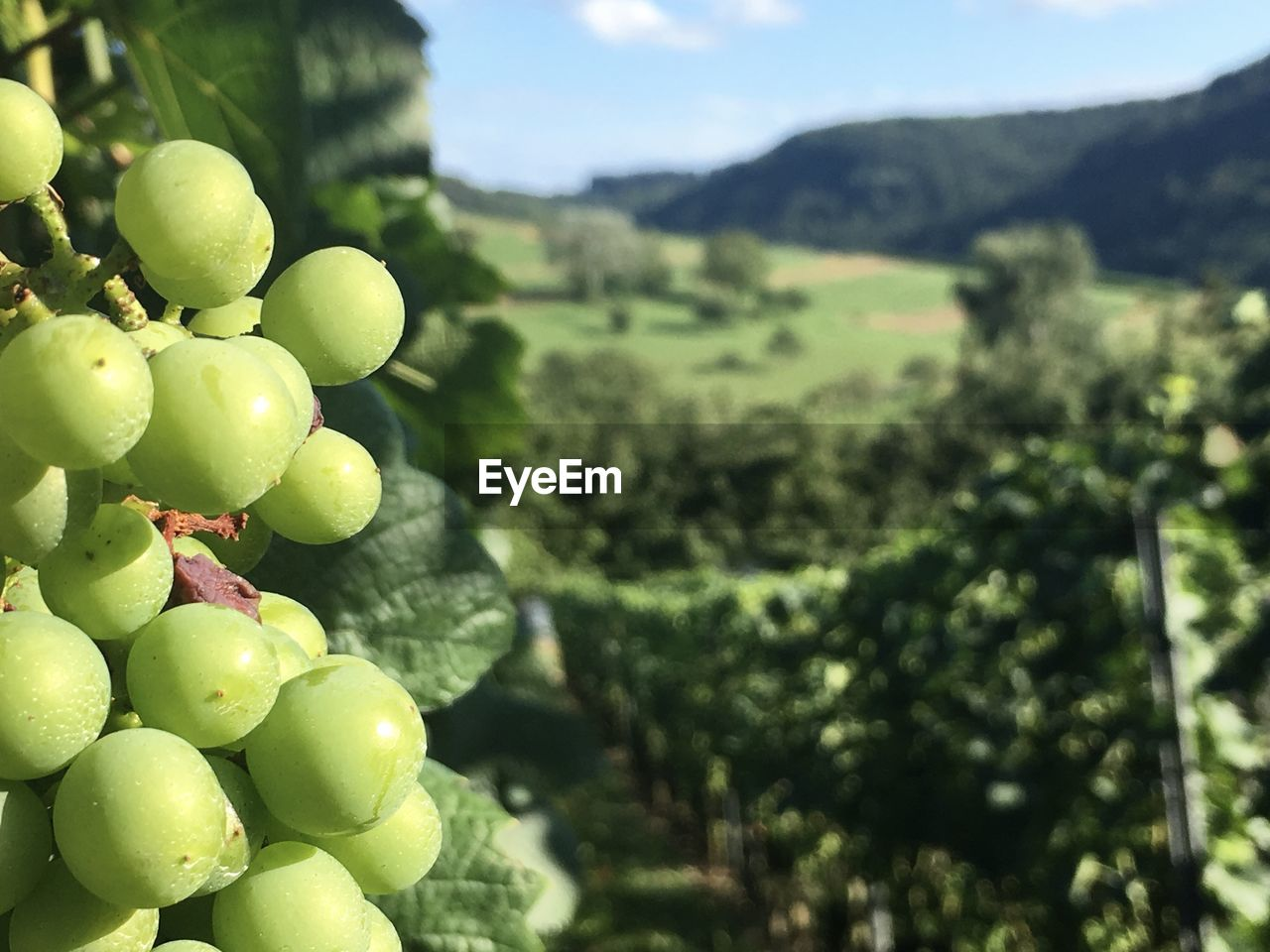 food and drink, fruit, food, healthy eating, green color, freshness, plant, nature, no people, tree, agriculture, grape, day, wellbeing, vineyard, growth, focus on foreground, mountain, close-up, beauty in nature, outdoors, winemaking