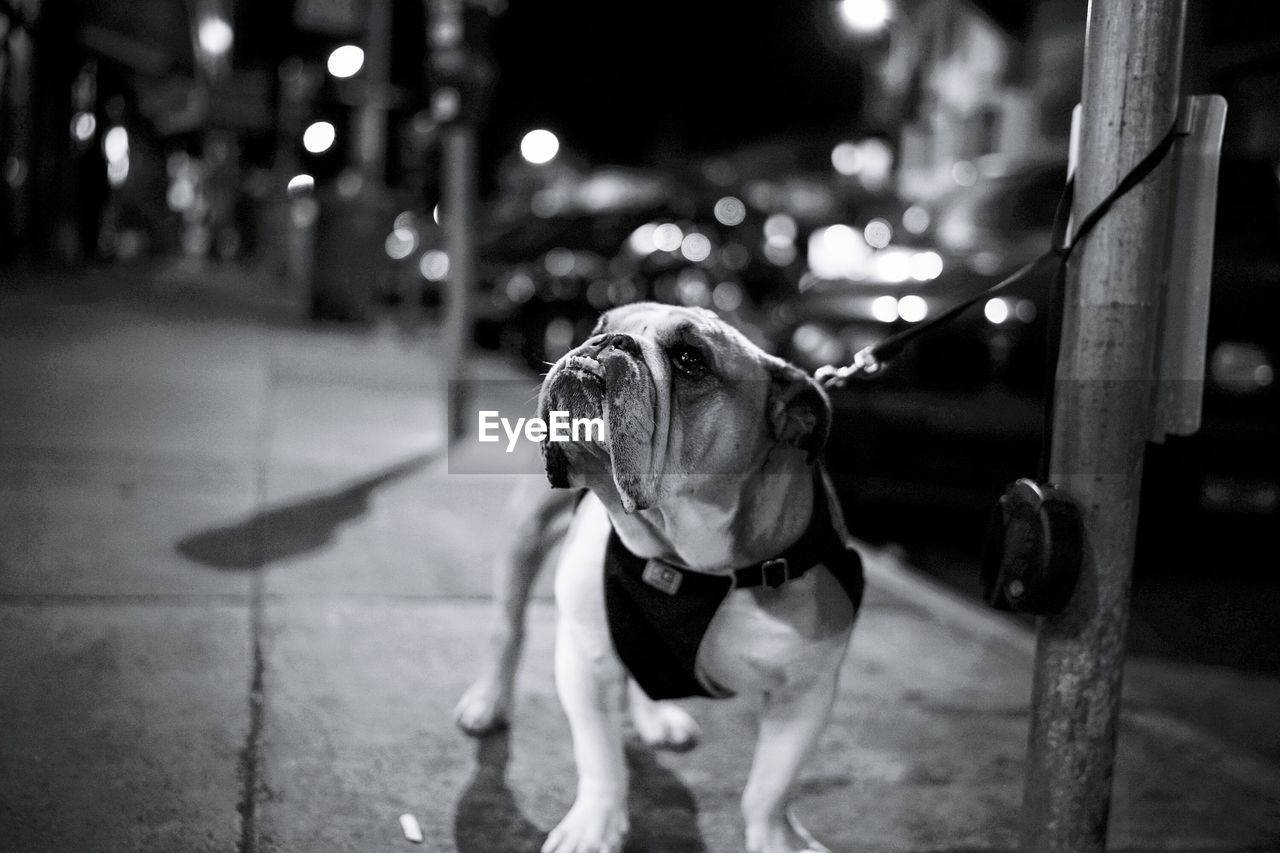 dog, pets, domestic animals, animal themes, mammal, one animal, focus on foreground, night, outdoors, full length, no people
