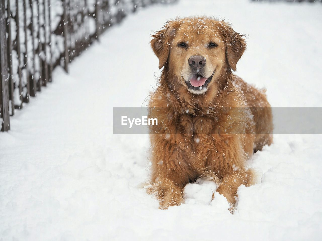 Close-up of dog resting on snow covered road