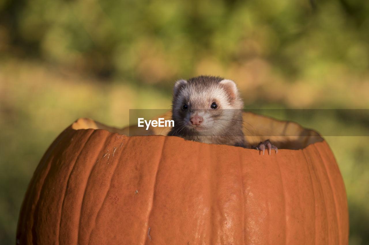 Close-Up Of Ferret In Pumpkin