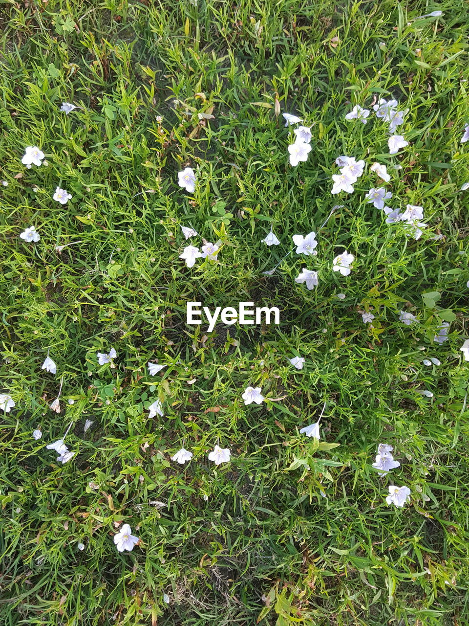 grass, flower, growth, high angle view, nature, field, white color, green color, meadow, no people, beauty in nature, plant, day, outdoors, fragility, freshness, flower head