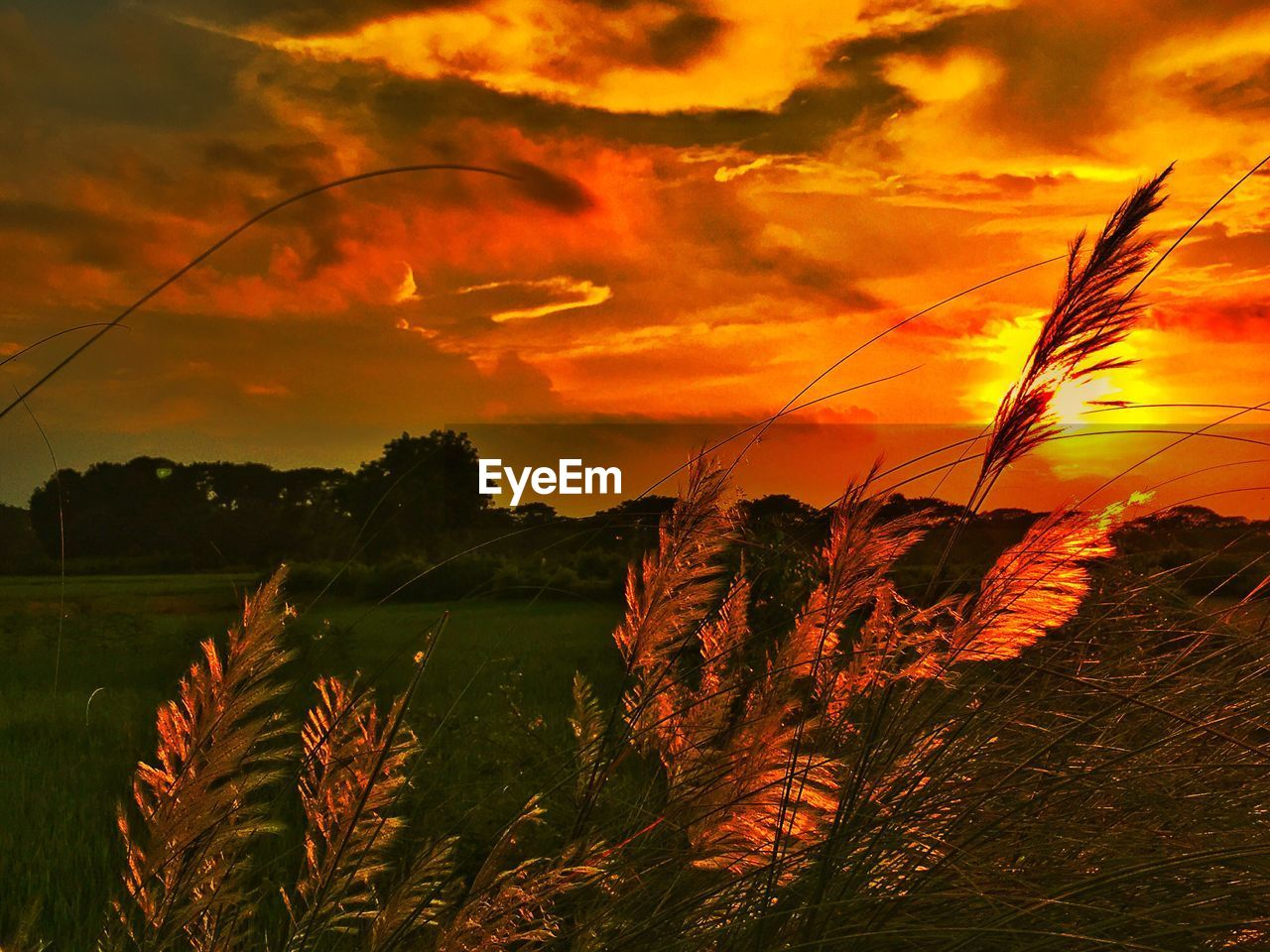 growth, sunset, nature, plant, tranquil scene, beauty in nature, scenics, tranquility, no people, field, outdoors, cereal plant, agriculture, sky, rural scene, cloud - sky, landscape, grass, tree, close-up, day