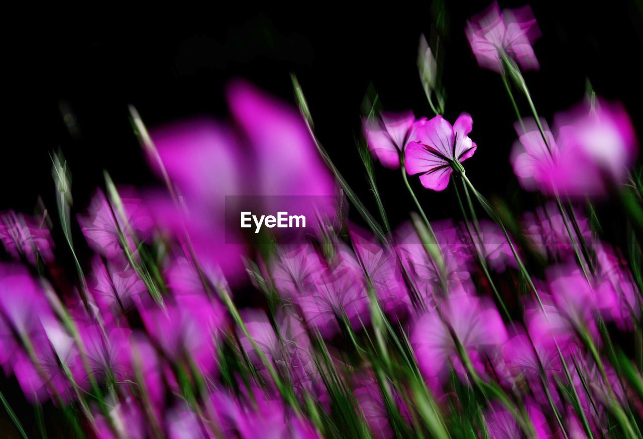 Blurred Motion Of Pink Flowers Blooming Outdoors