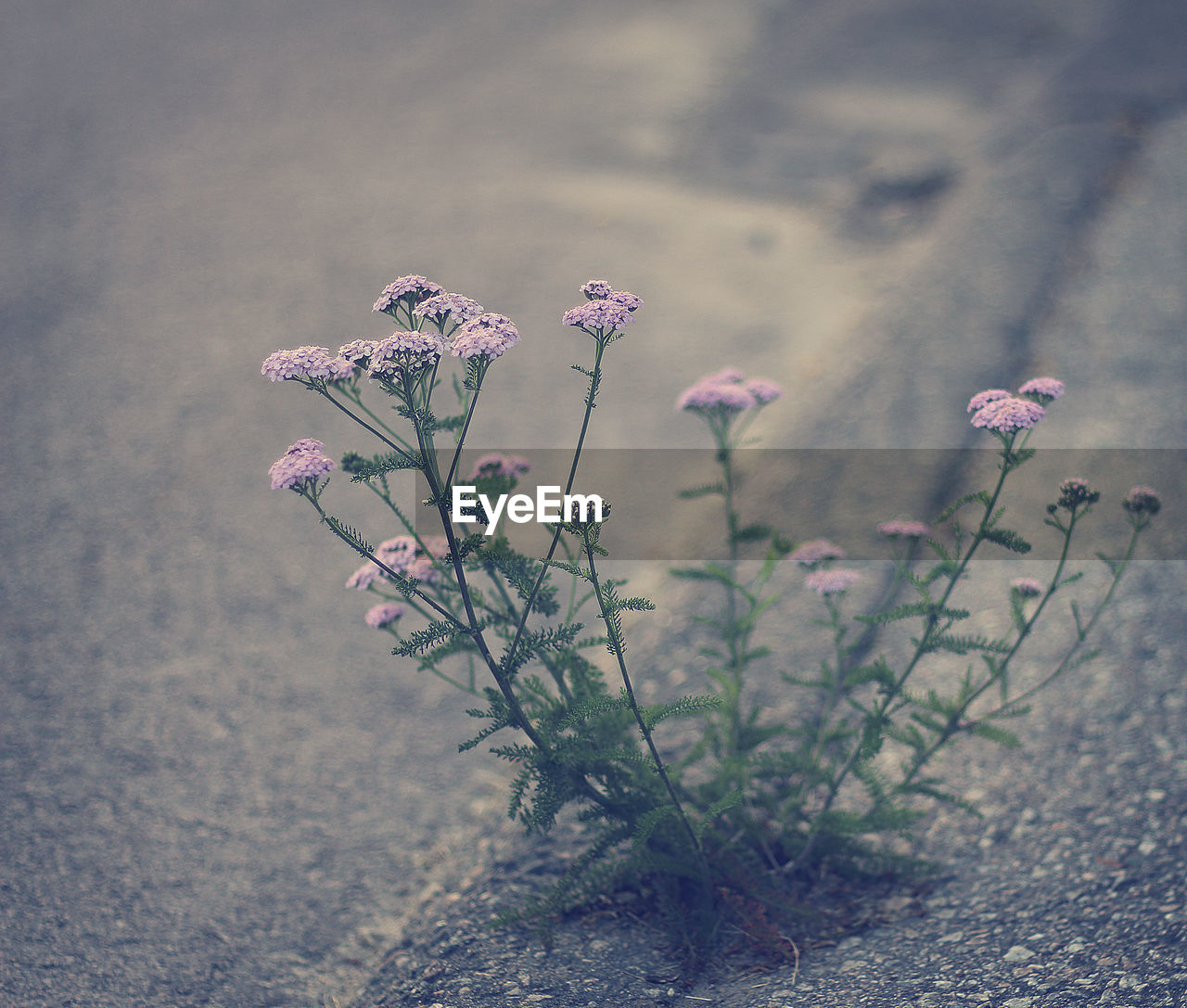 flower, flowering plant, plant, beauty in nature, nature, growth, vulnerability, fragility, no people, freshness, close-up, pink color, outdoors, petal, land, focus on foreground, day, selective focus, tranquility, field, flower head, purple, spring