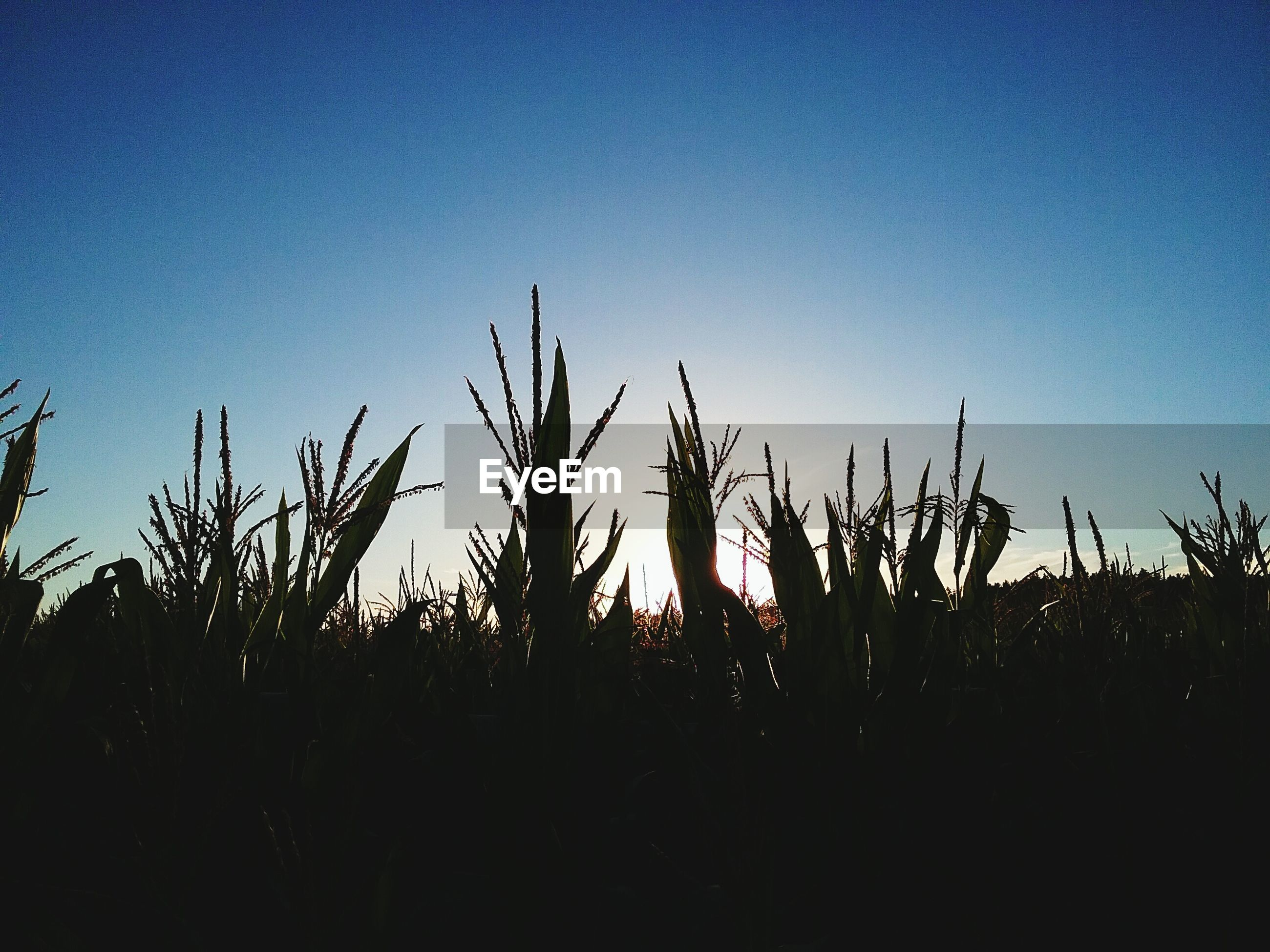 silhouette, growth, sunset, clear sky, blue, plant, tranquility, tranquil scene, beauty in nature, nature, scenics, back lit, sun, field, uncultivated, outdoors, majestic, outline, tall - high, surface level, non-urban scene, stalk, tall grass, no people