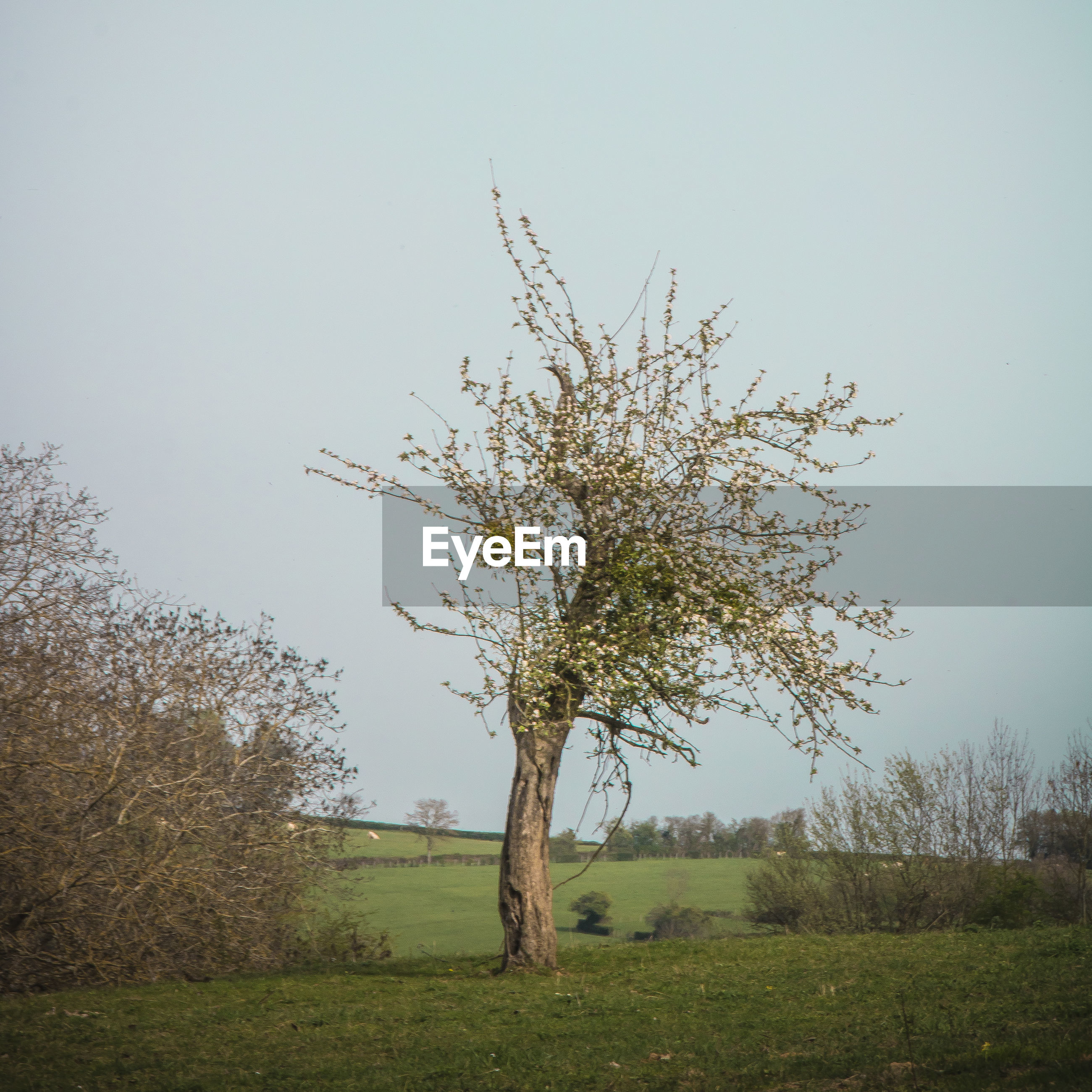Tree on grassy field against clear sky