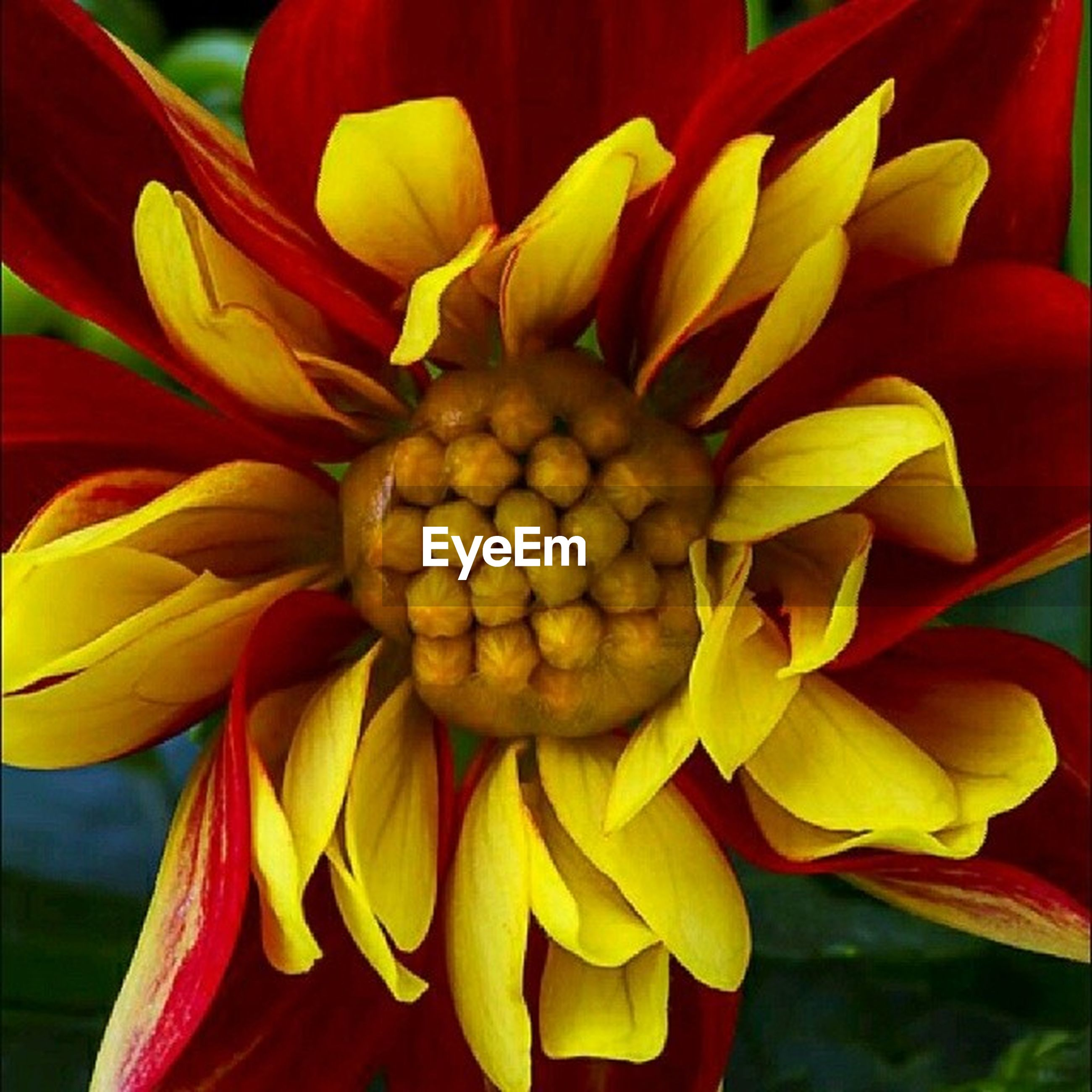 flower, freshness, petal, flower head, fragility, beauty in nature, growth, close-up, yellow, nature, blooming, pollen, tulip, red, plant, focus on foreground, blossom, no people, day, in bloom