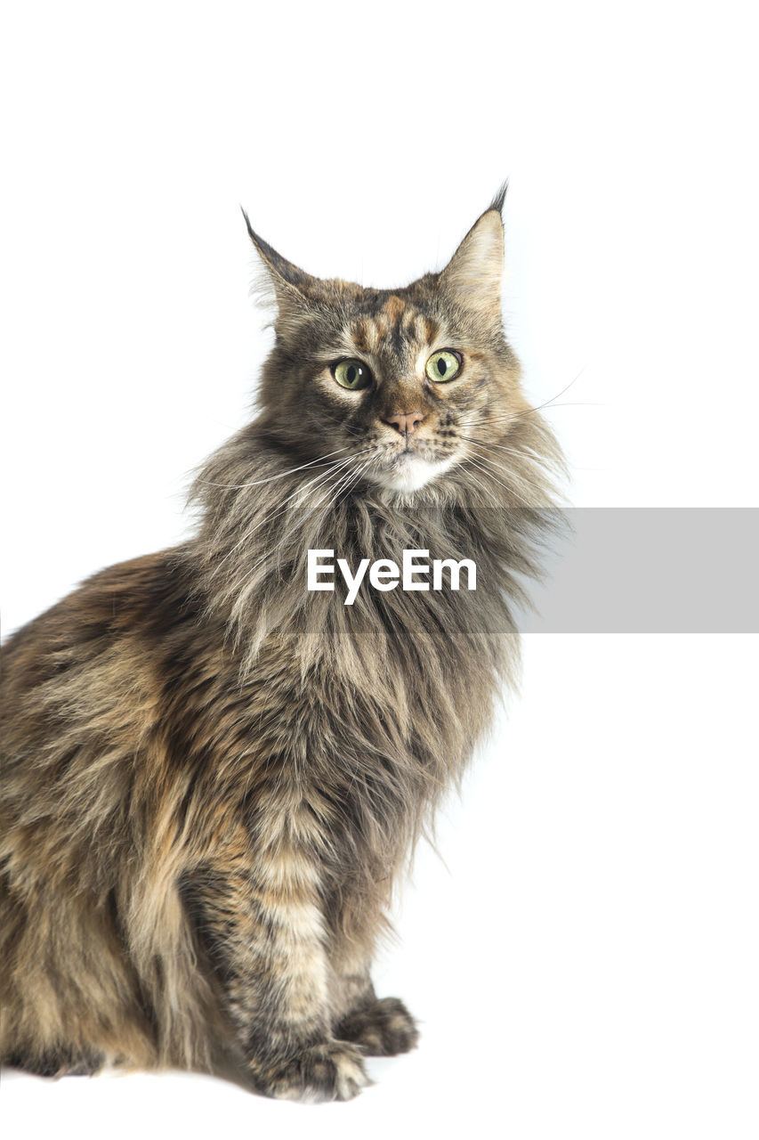 Portrait of maine coon cat relaxing against white background