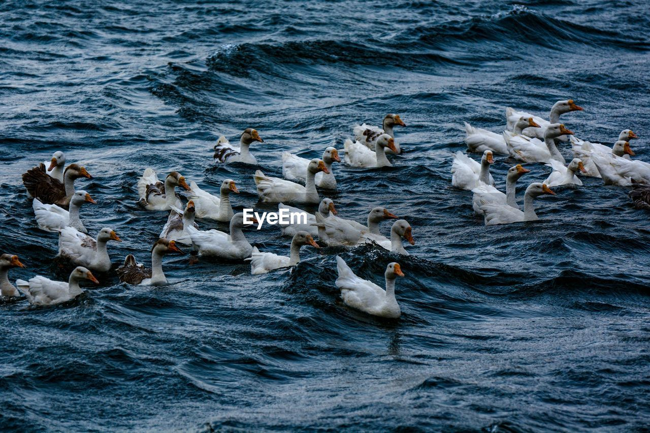 animal wildlife, water, animal, vertebrate, animal themes, animals in the wild, large group of animals, bird, group of animals, sea, no people, swimming, nature, day, motion, waterfront, wave, flock of birds, rippled, outdoors, seagull, marine