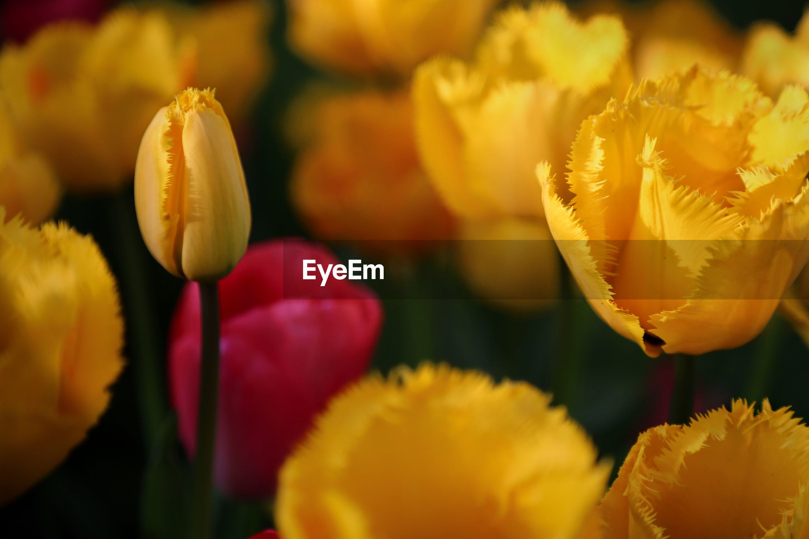 FULL FRAME SHOT OF YELLOW TULIPS