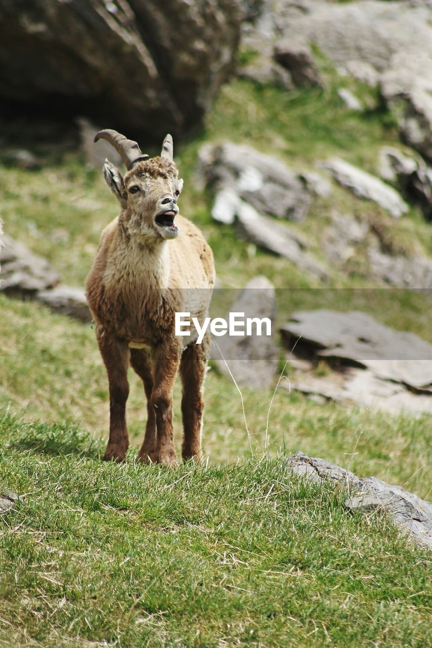 grass, animal themes, mammal, animal, field, one animal, plant, land, vertebrate, domestic animals, day, nature, no people, standing, animal wildlife, animals in the wild, pets, young animal, solid, domestic, outdoors, herbivorous, mouth open